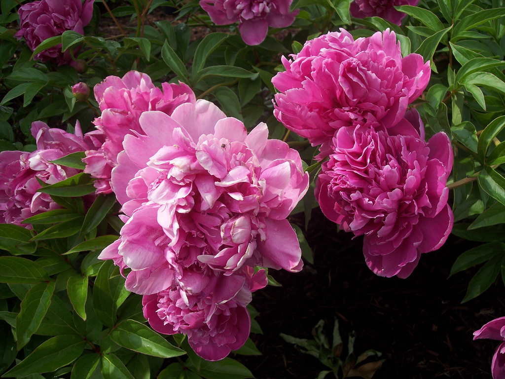 Dividing Peony Plants – Tips On How To Propagate Peonies ...