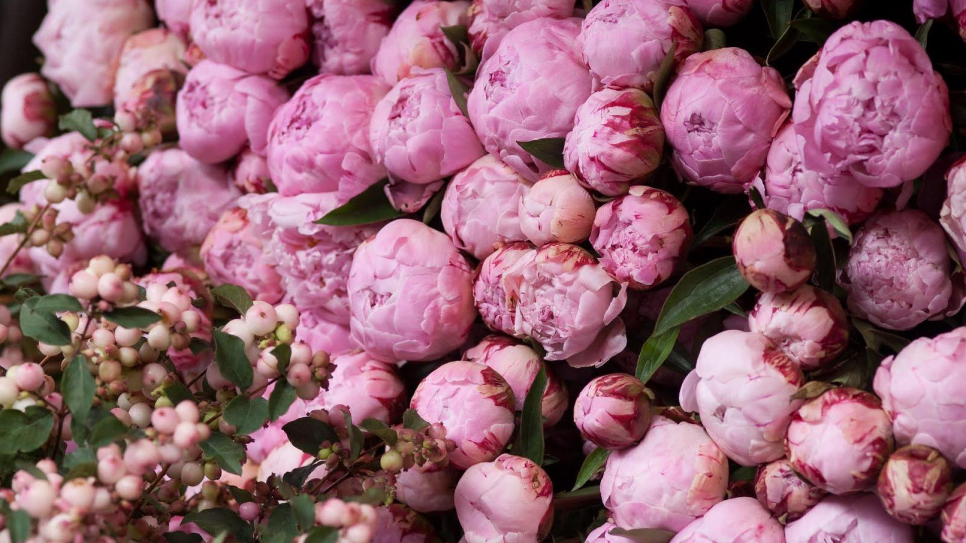 Pink Peonies: Pink Peony Wallpaper Hd Wallpapers 1920x1080px