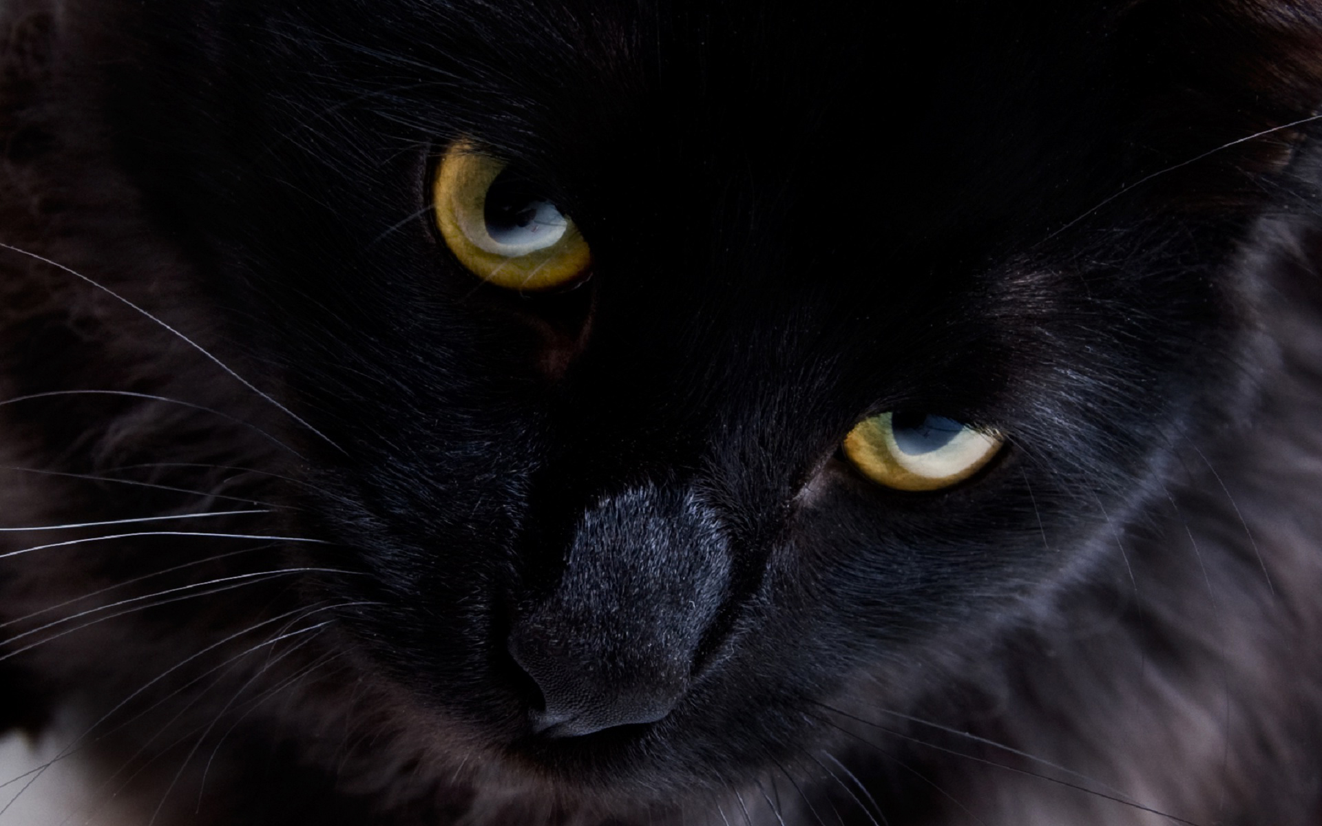 Persian black cat