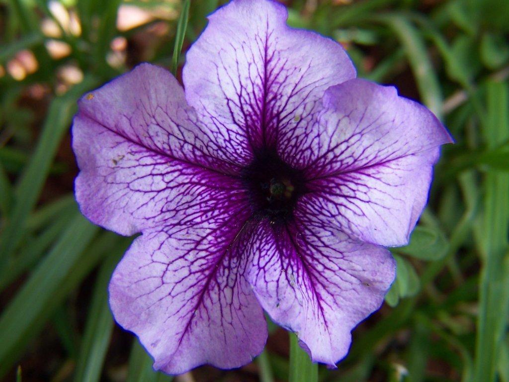 Petunie flower