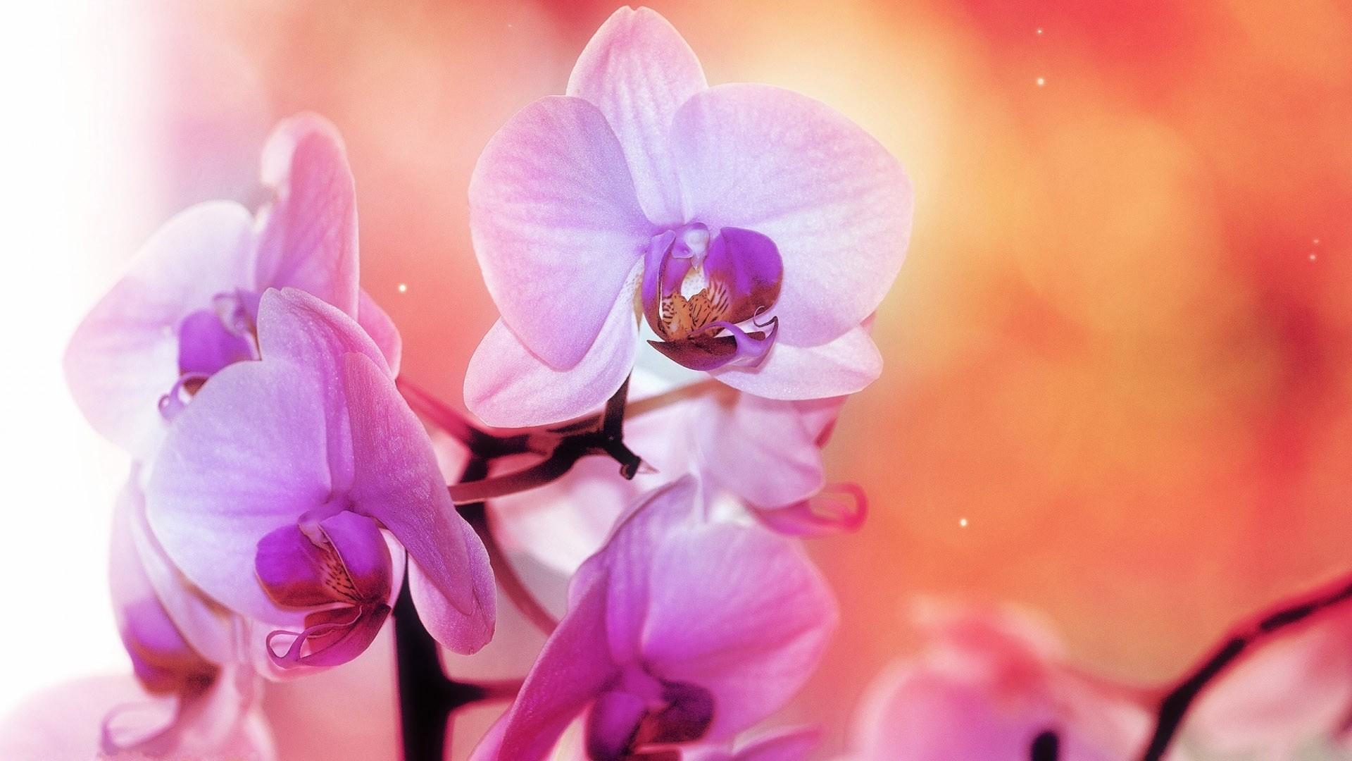 Phalaenopsis Wallpaper