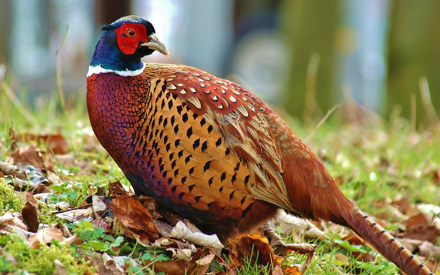 ... Pheasant Wallpaper ...