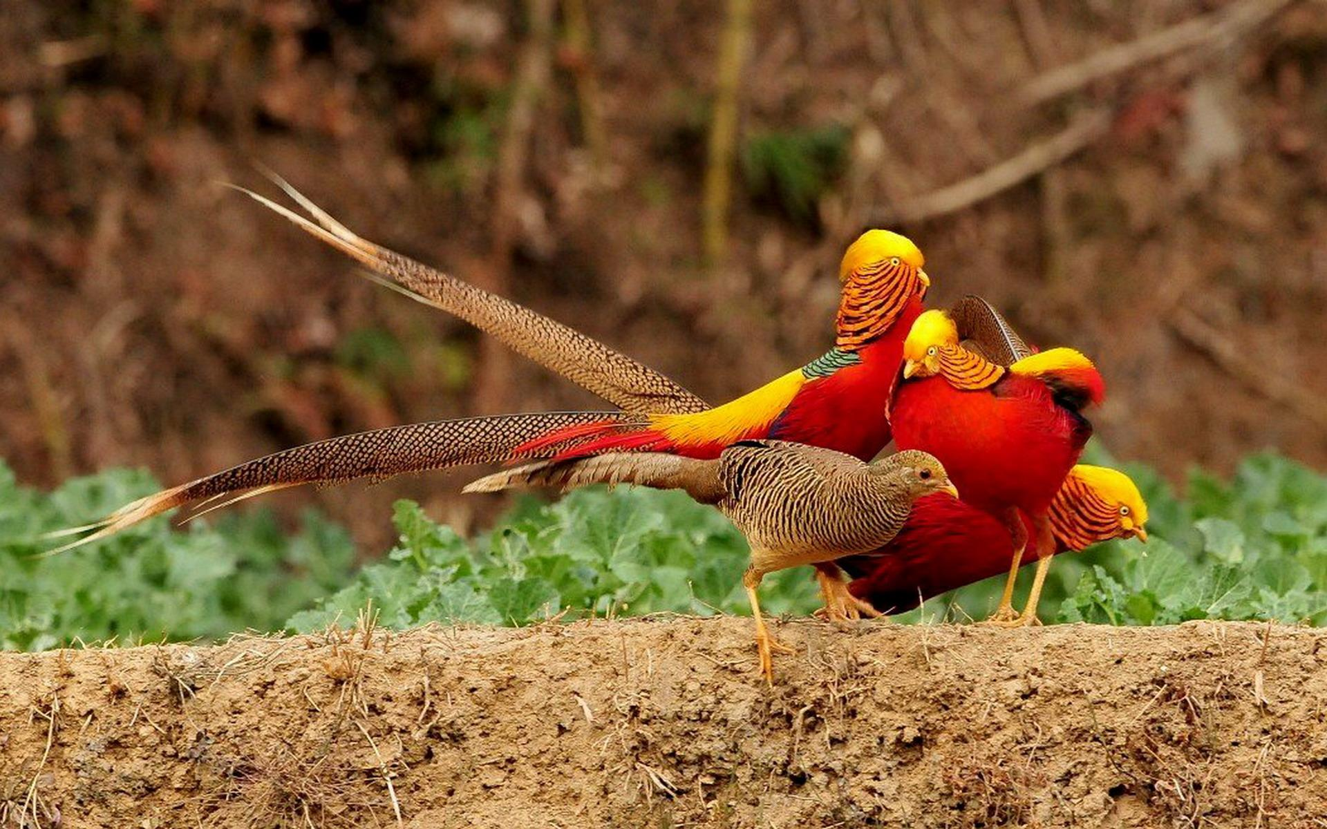 HD Wallpaper | Background ID:399740. 1920x1200 Animal Golden Pheasant