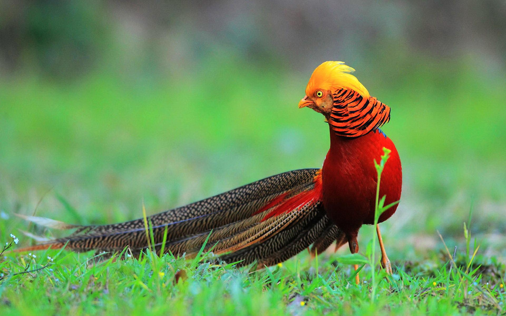 HD Wallpaper | Background ID:399749. 1920x1200 Animal Golden Pheasant