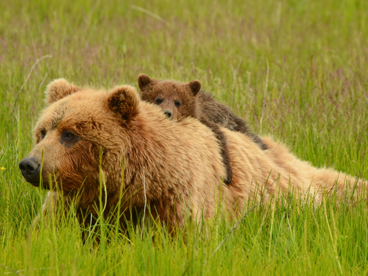 Pictures Of Grizzly Bears