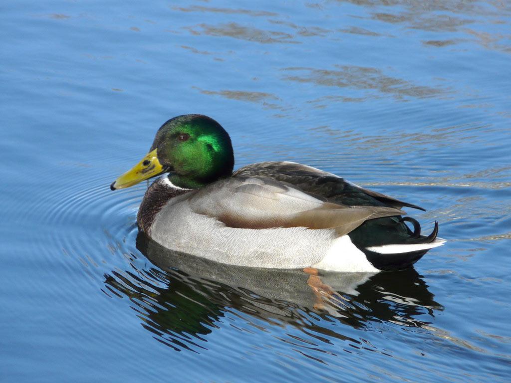 Pictures Of Mallard Ducks