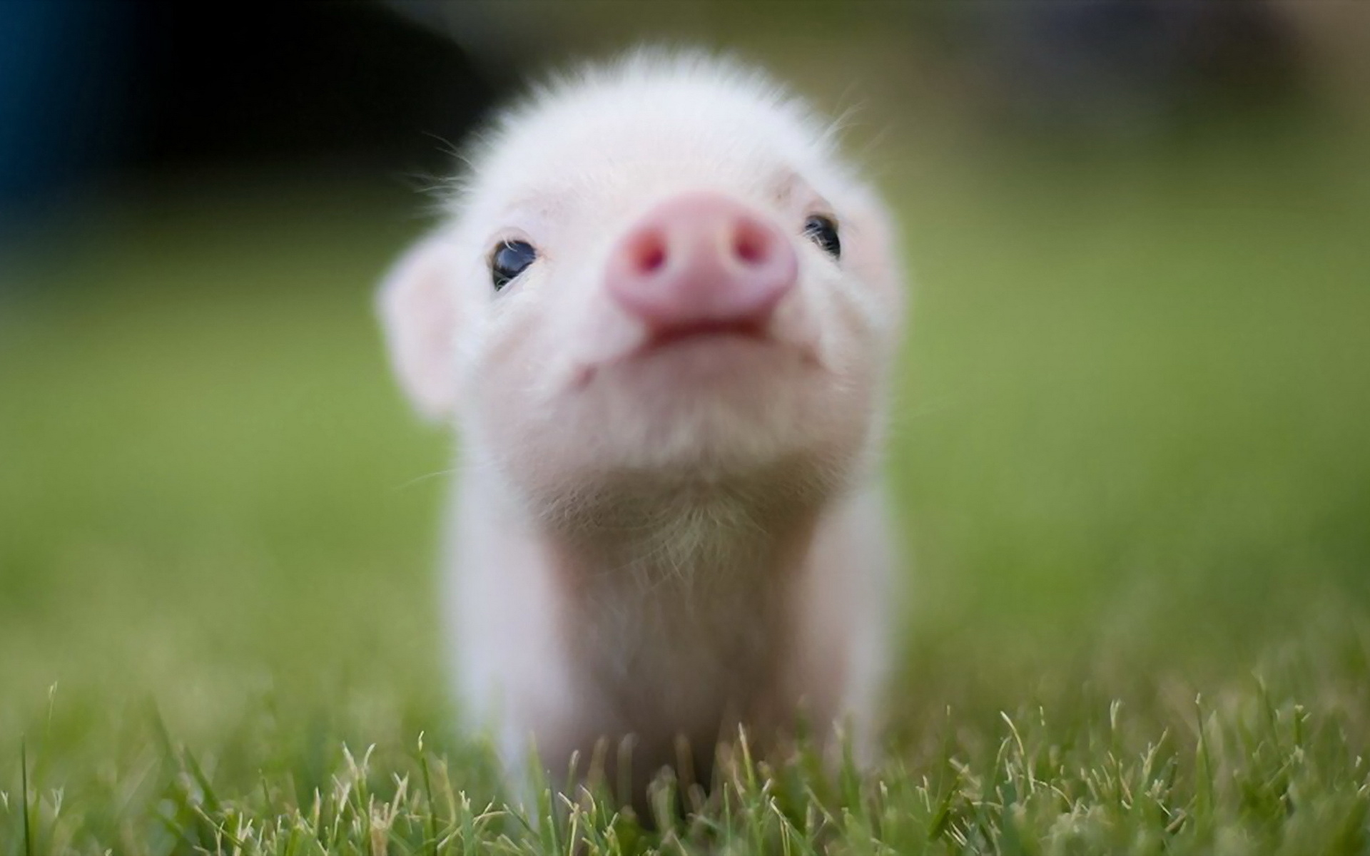 pig wallpaper hd