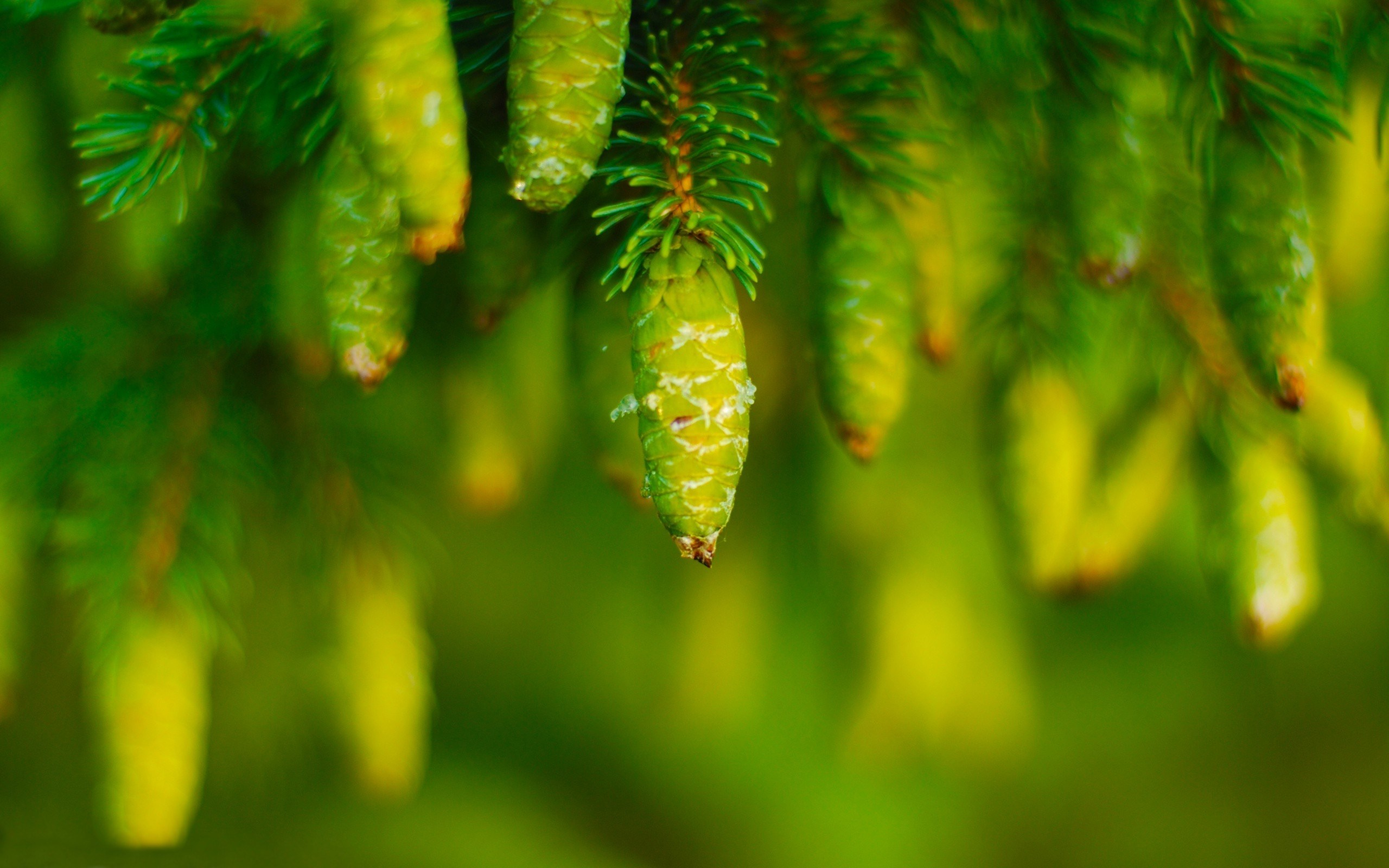 Awesome Green Nature Wallpaper: Conifers Tree Pin Green Cones Nature Hd Wallpaper 2560x1600px