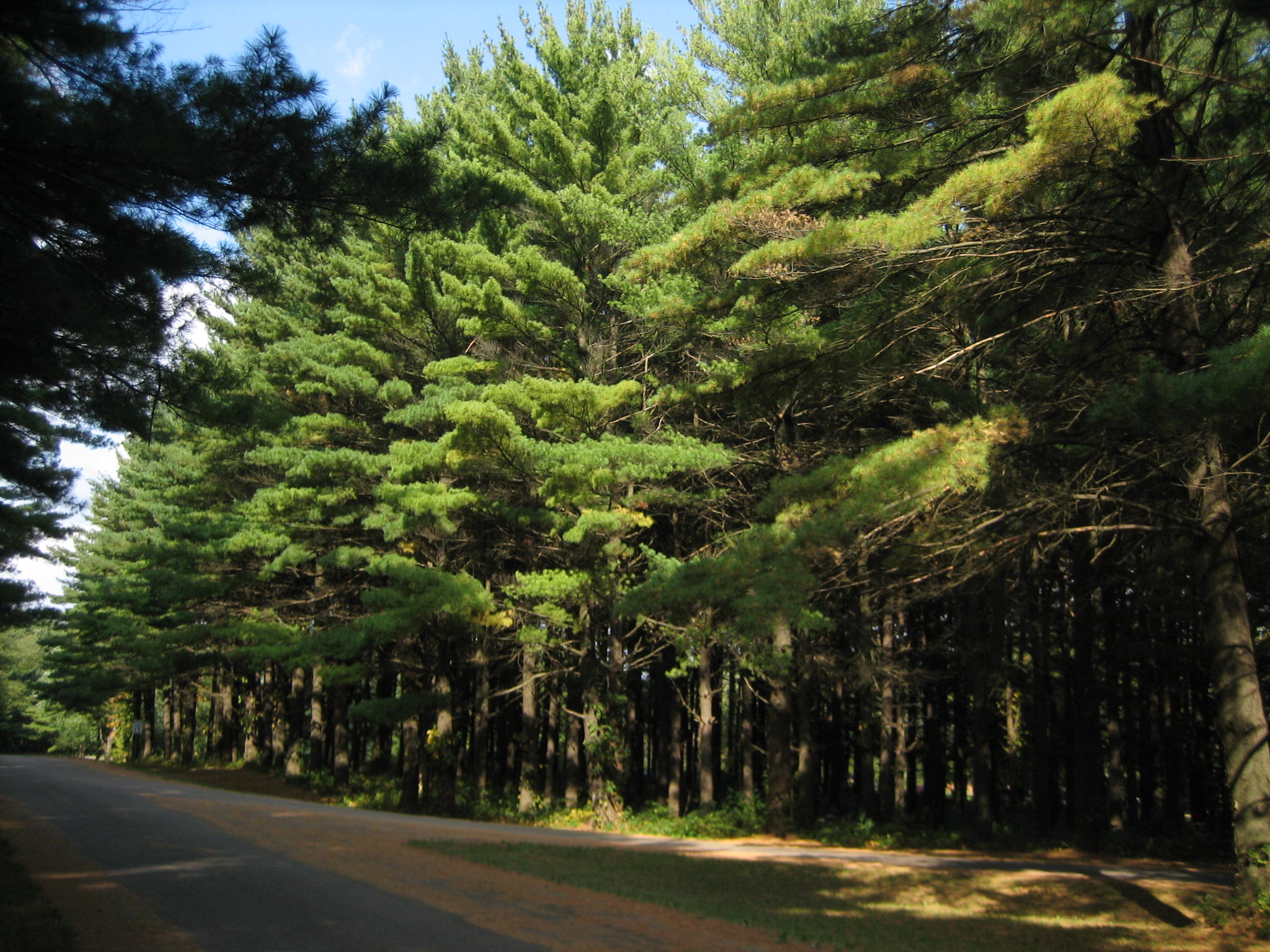 File:White Pines Forest State Park Pine Stand5.JPG