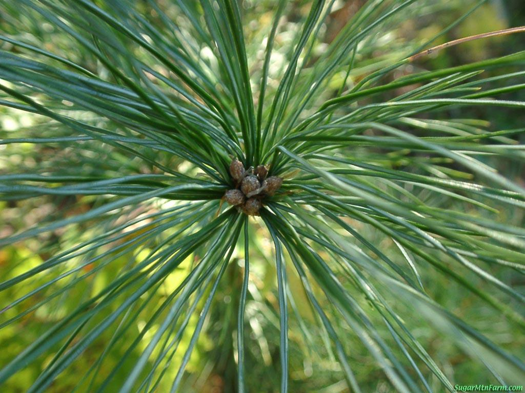 Volumes of research on Pine Needles and Cancer