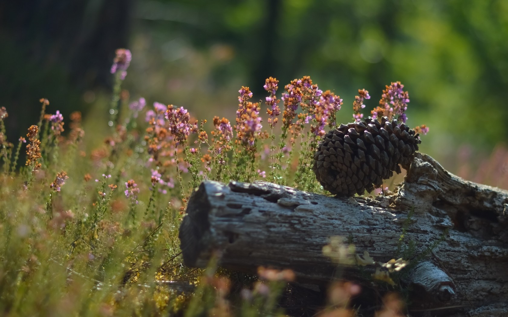 Pine Cone Flowers Nature