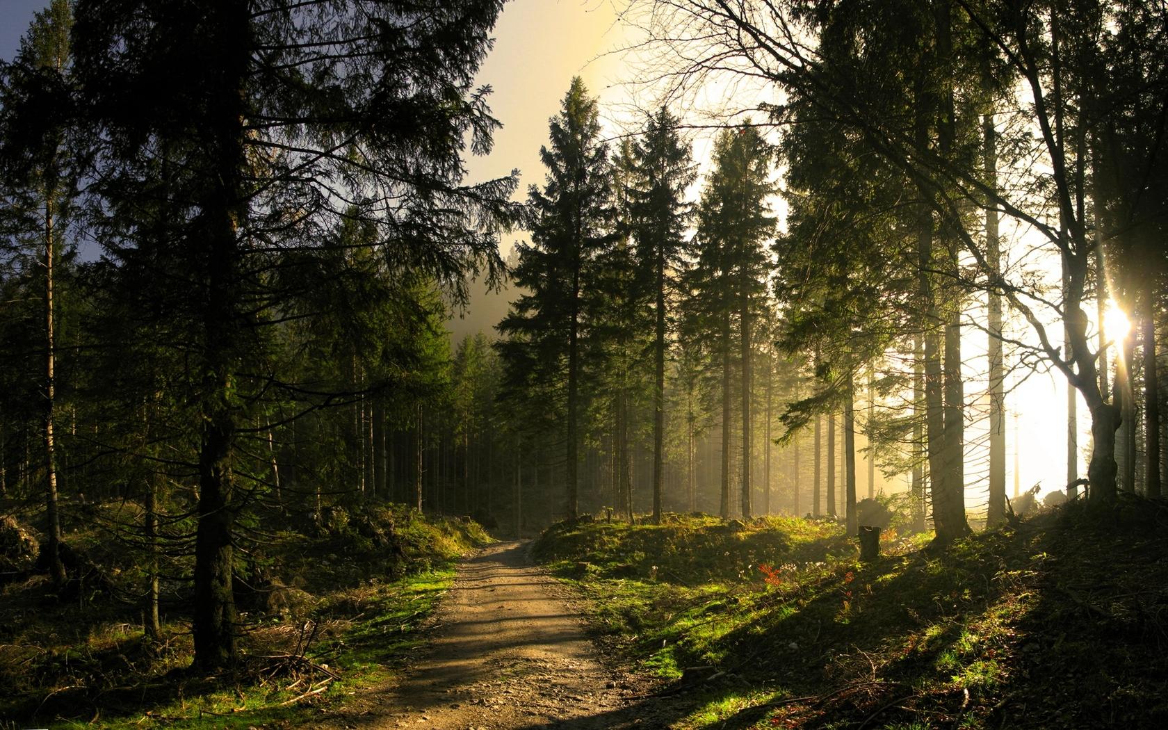 SUN LIGHT AT PINE FOREST Wallpaper