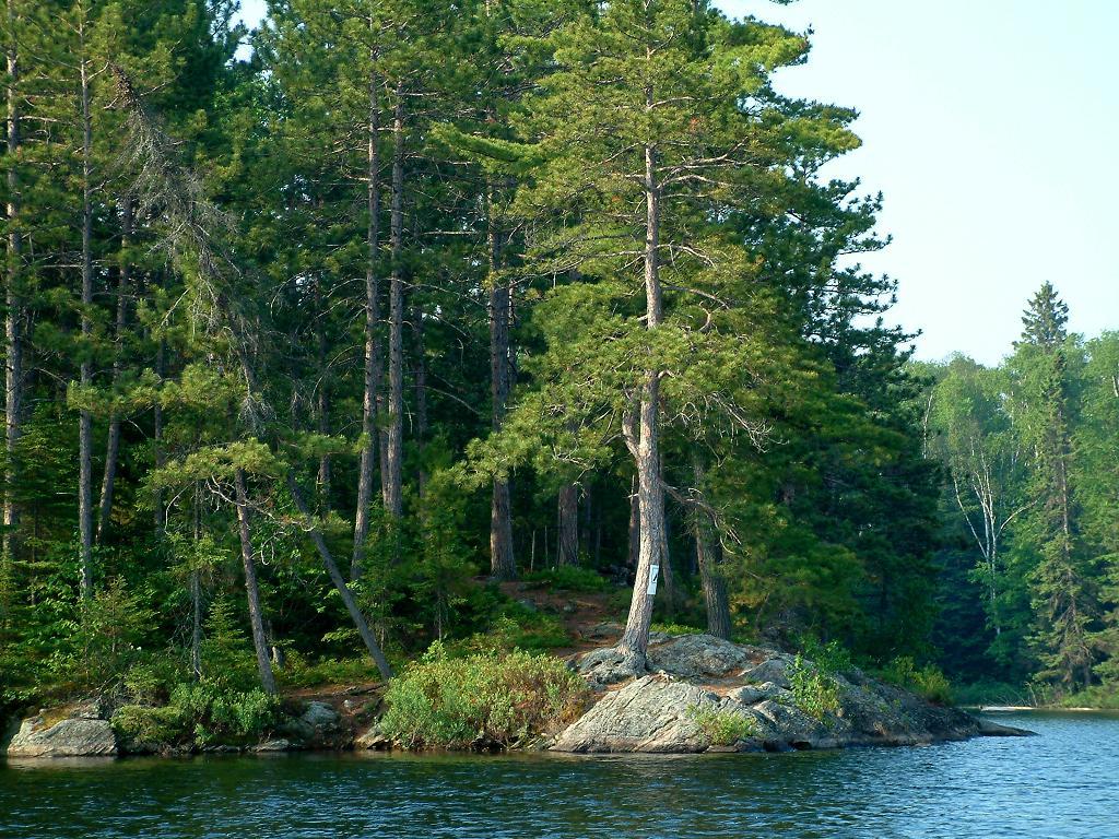 Pine Tree Images