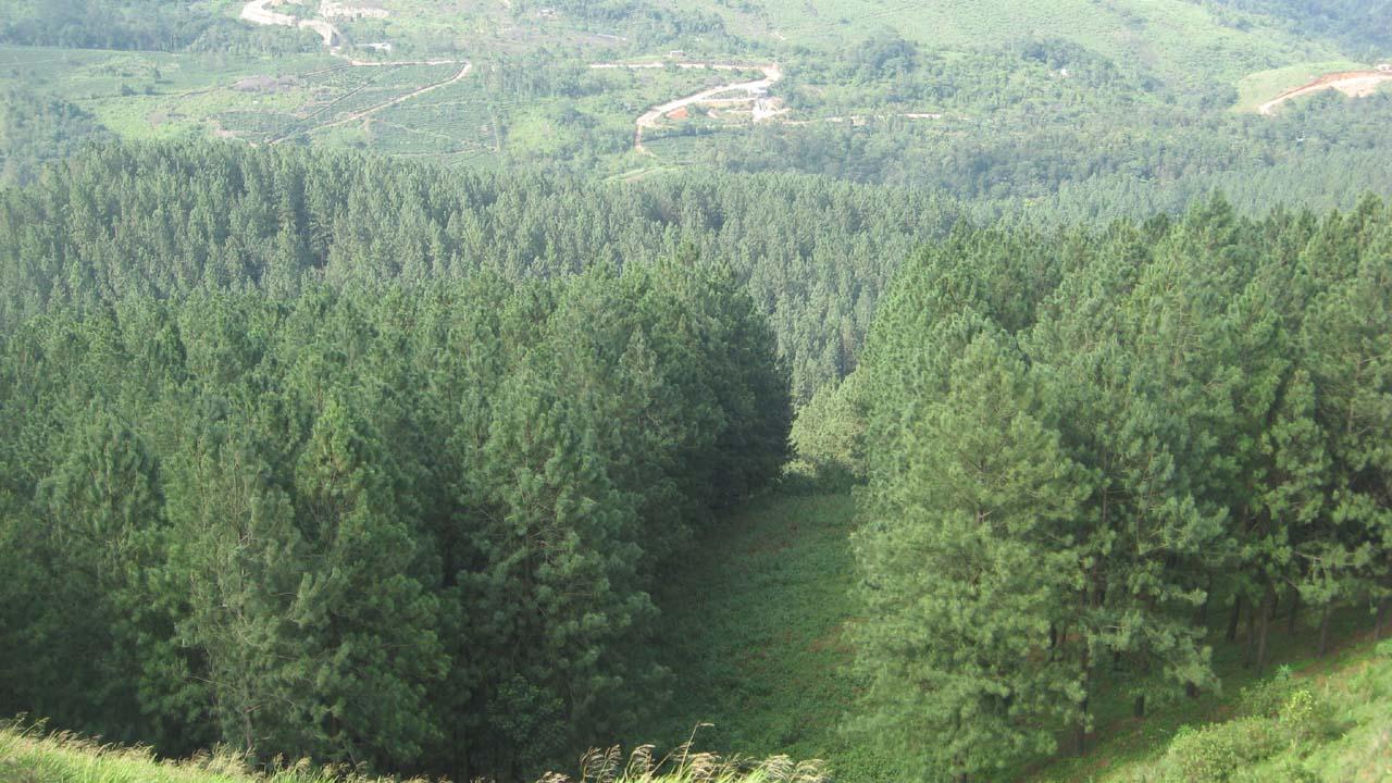 File:Pine tree forest 3.jpg