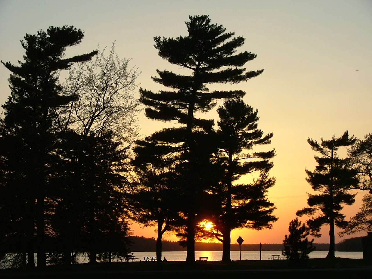 Pine tree in sunset