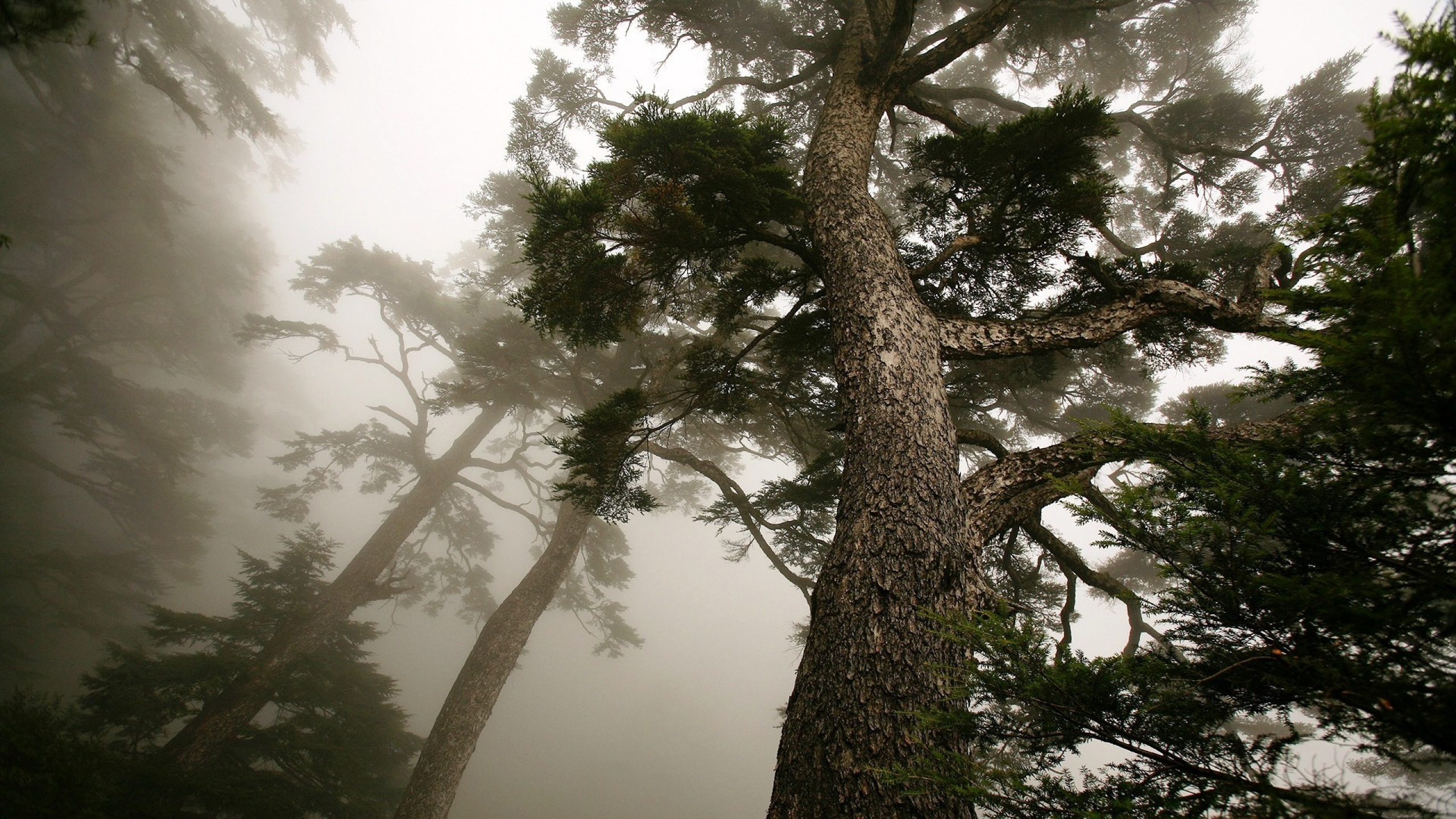2560x1440 Wallpaper tree, pine, mighty, from below, fog, trunk