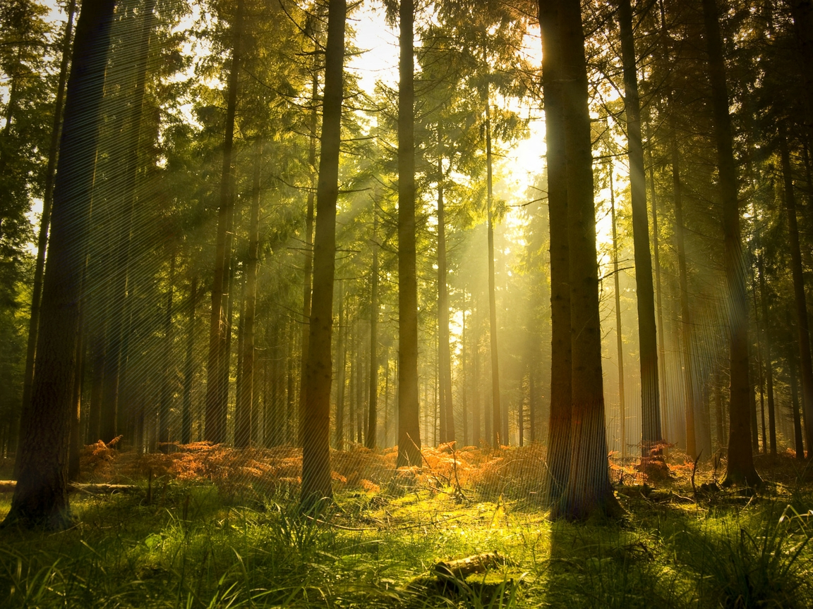 pine forest Wallpaper