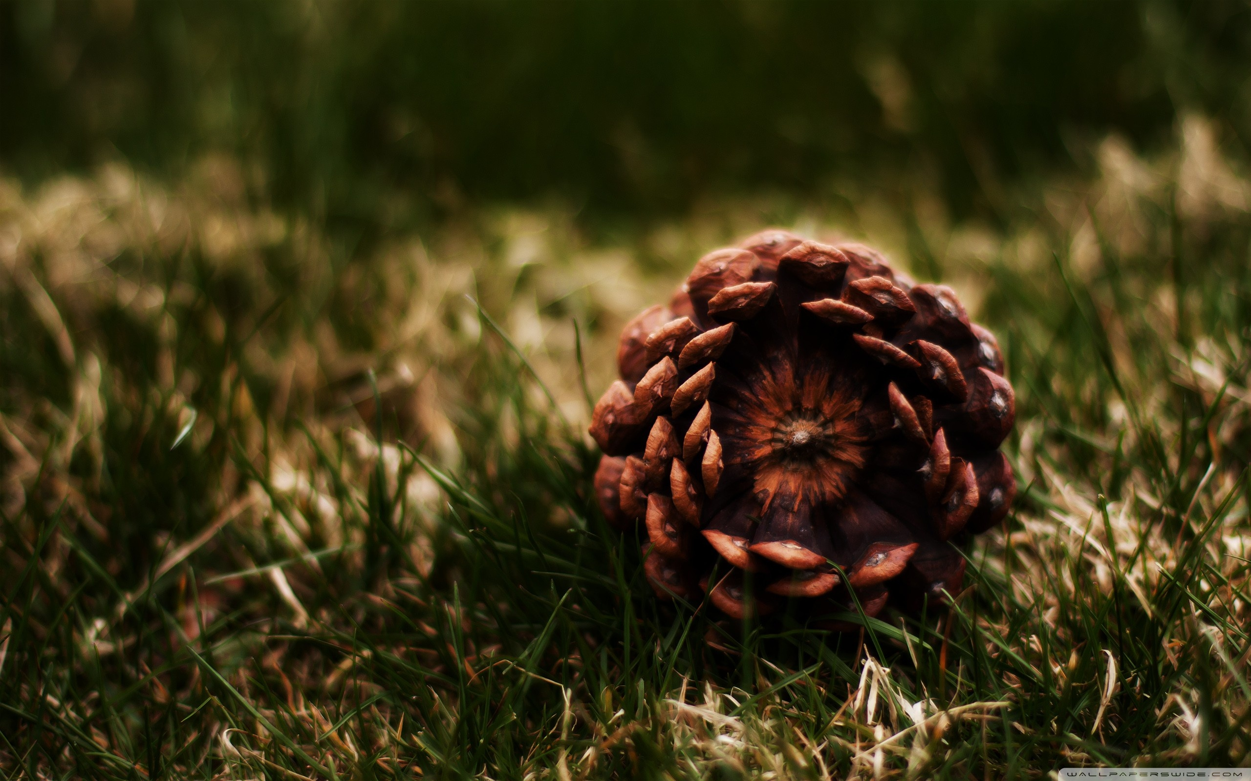 Pinecone wallpaper 2560x1600 5981 for Pinecone wallpaper
