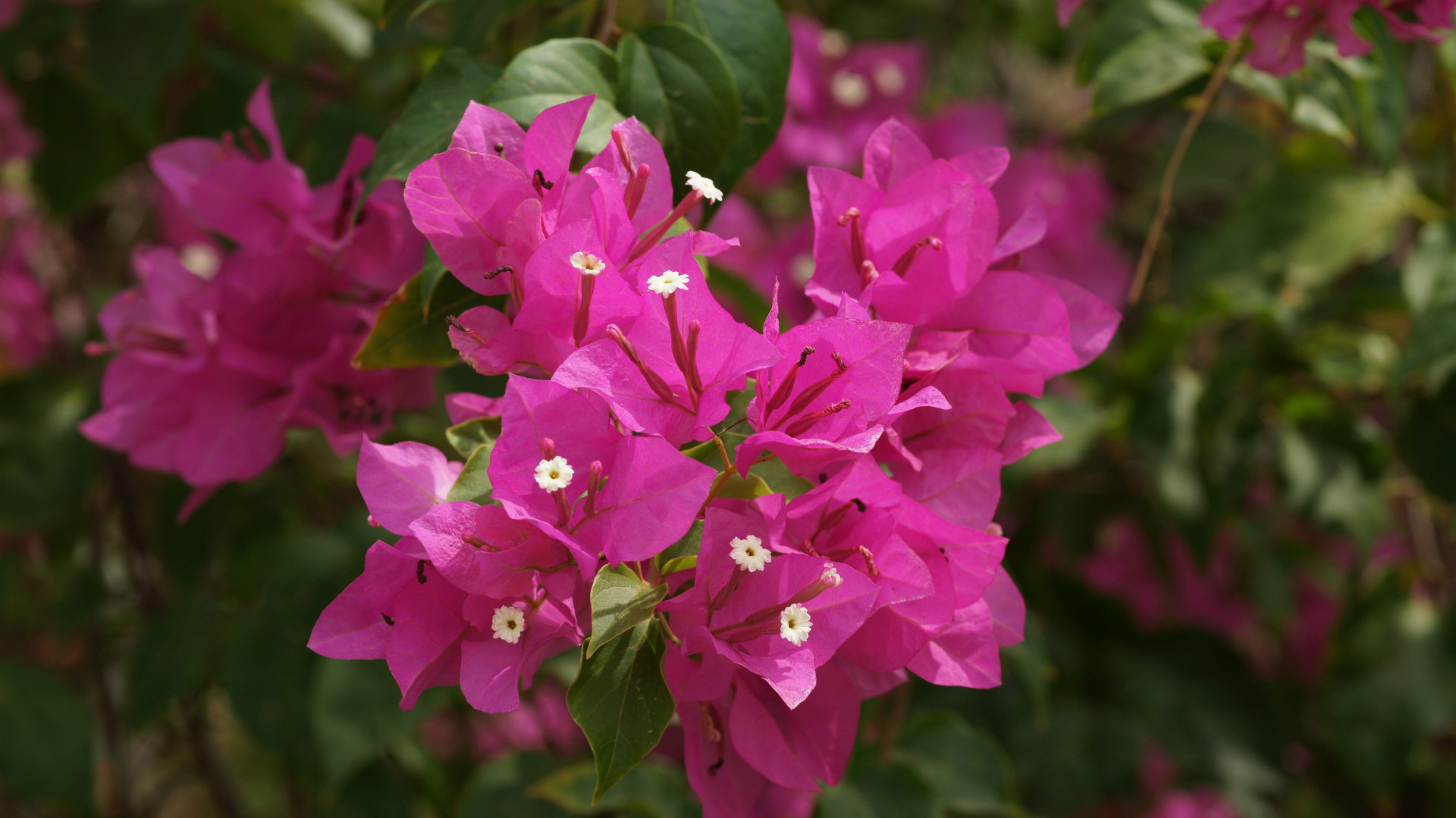 Pink Bougainvillea Flowers 20215 1344x896 px