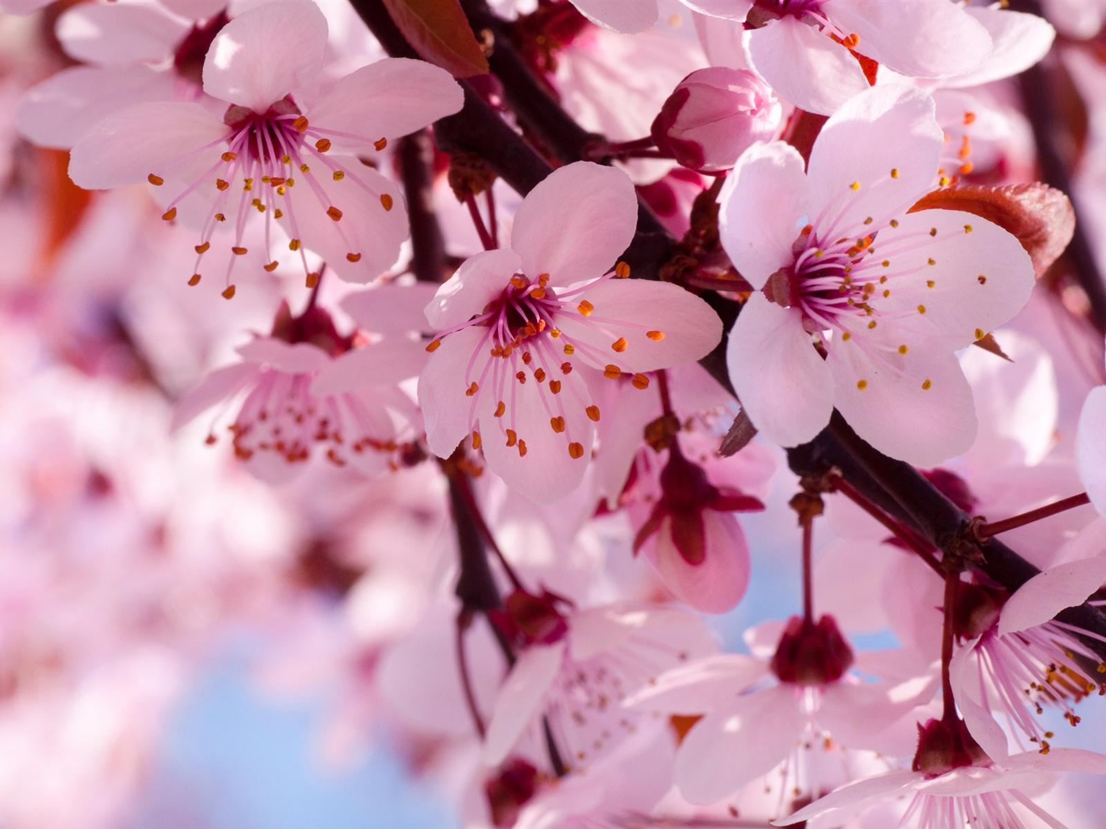 Flowers Pink Cherry Blossom