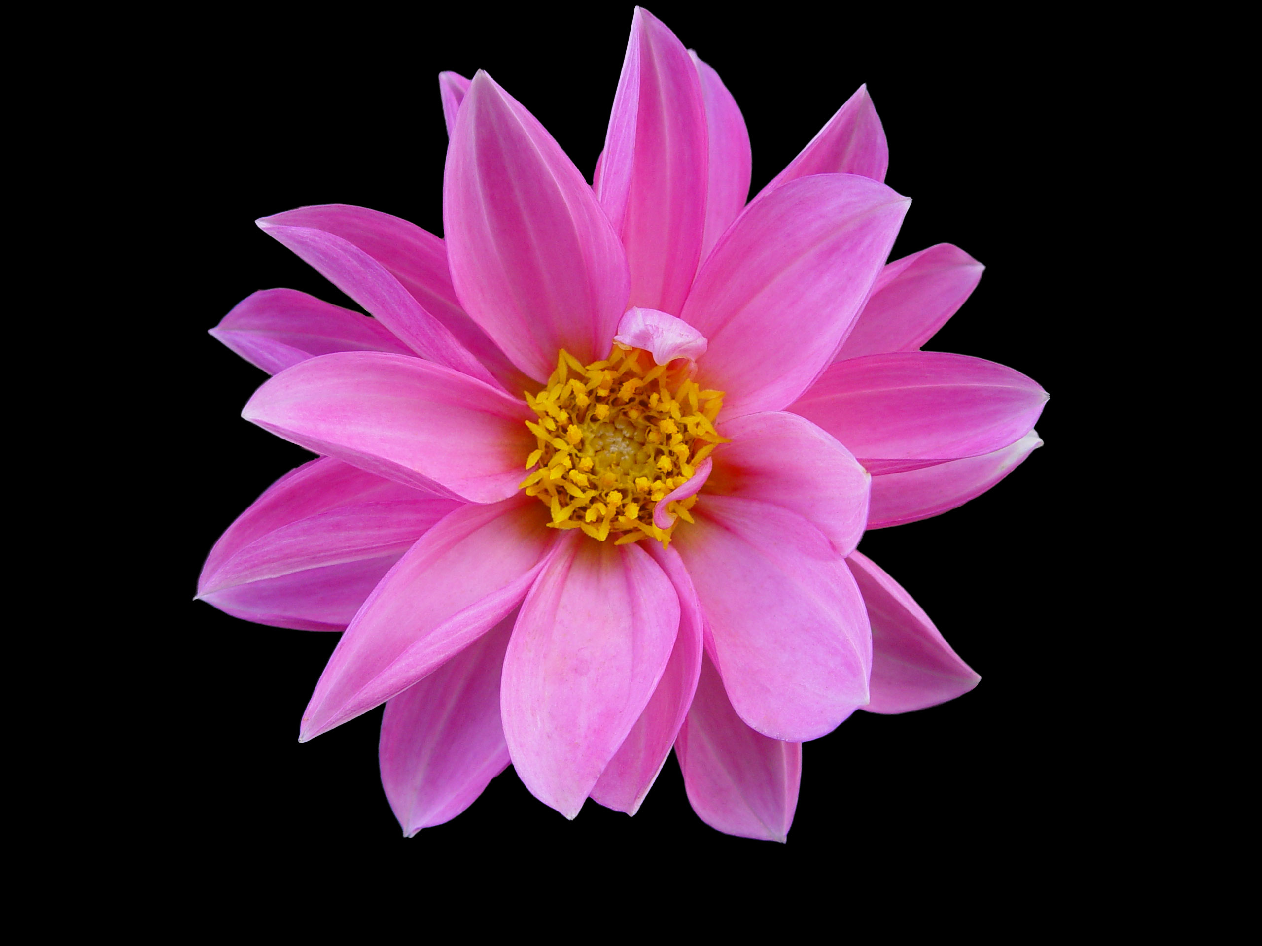 Pink Flower Images 26 HD Wallpapers