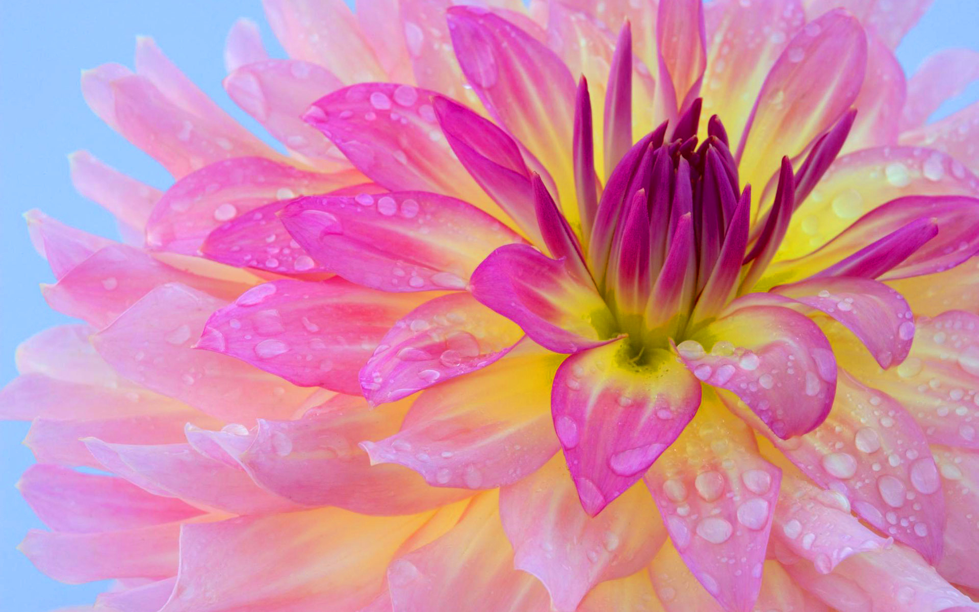 Pink flower morning dew