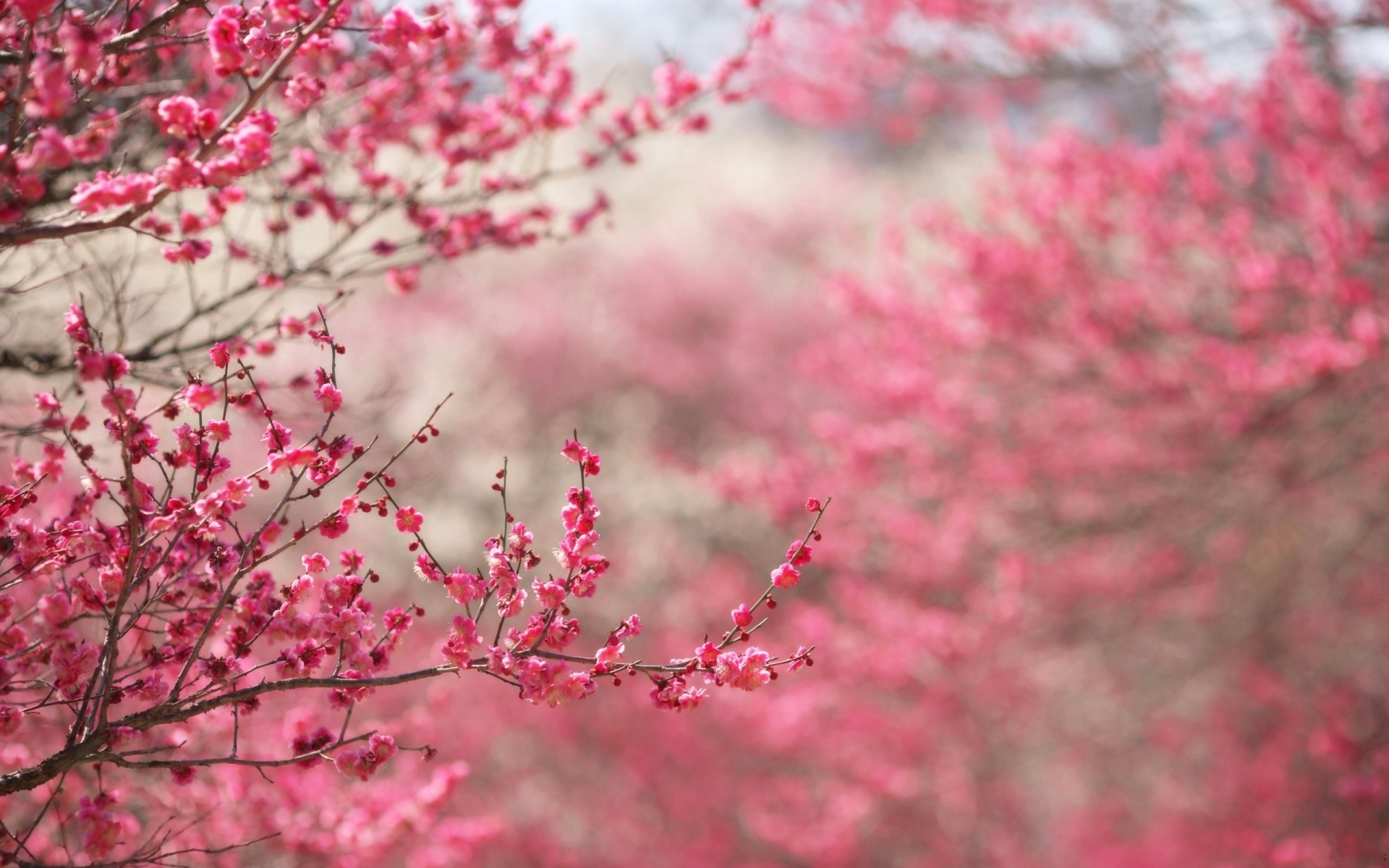 pink flower wallpaper tumblr 1