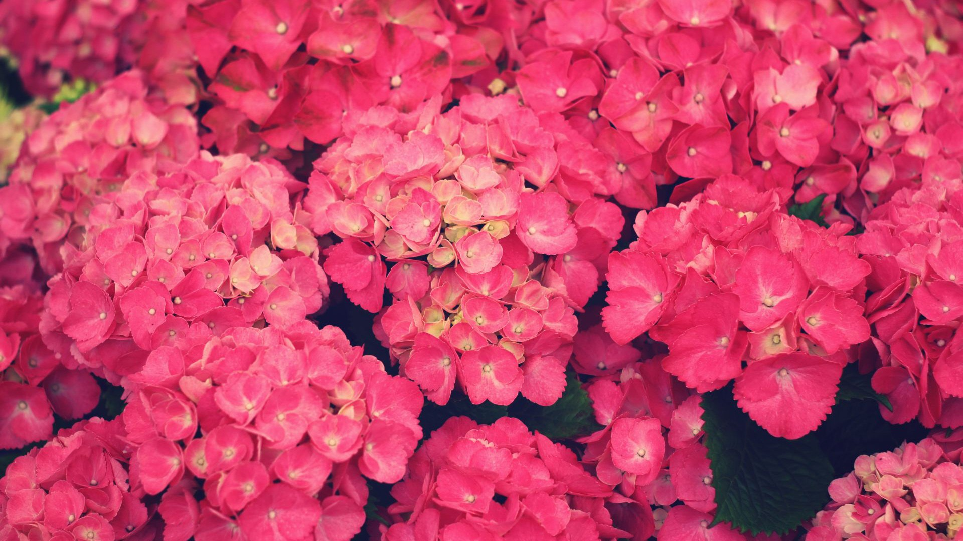 Pink Flowers Wallpaper 1920x1200 51762
