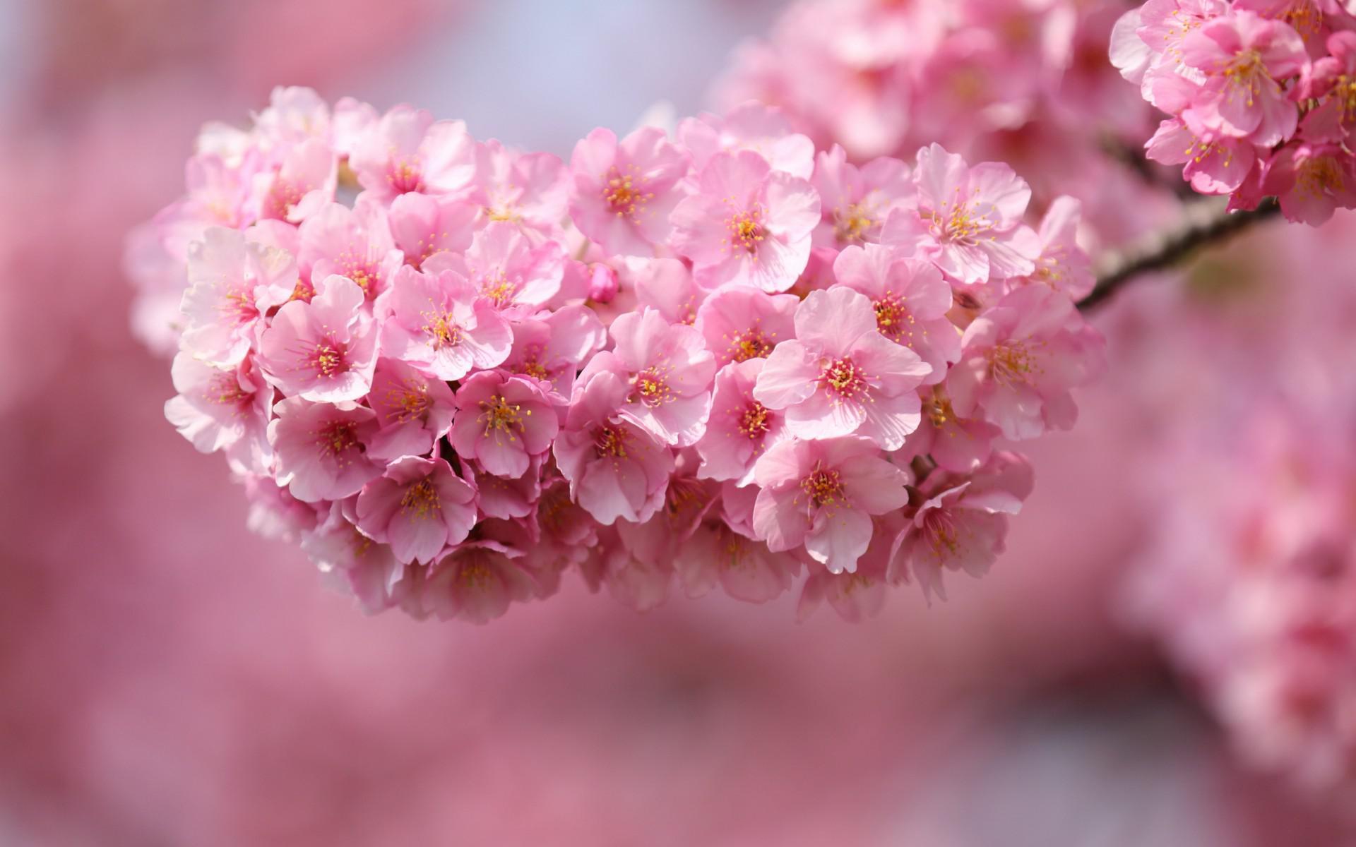 Beautiful pink flowers HQ WALLPAPER - (#132427)