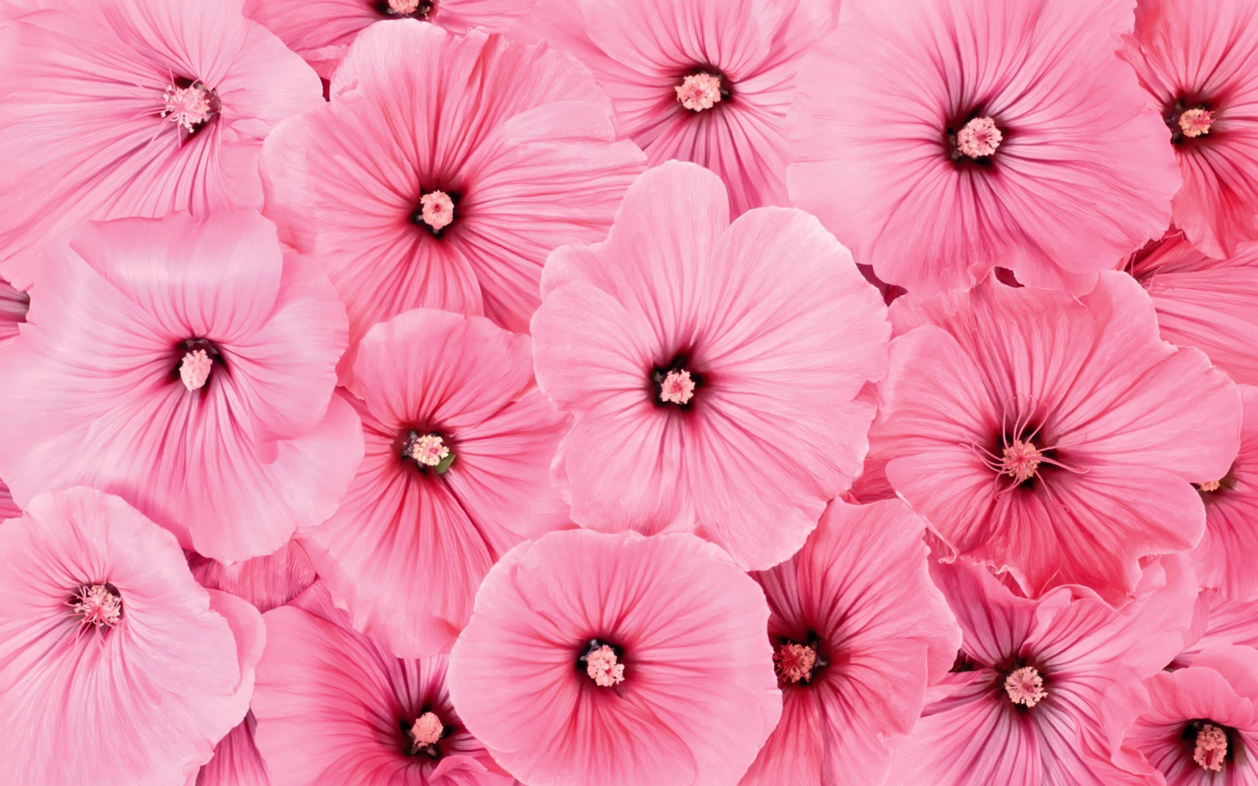 Pink Flowers Wide Desktop Background