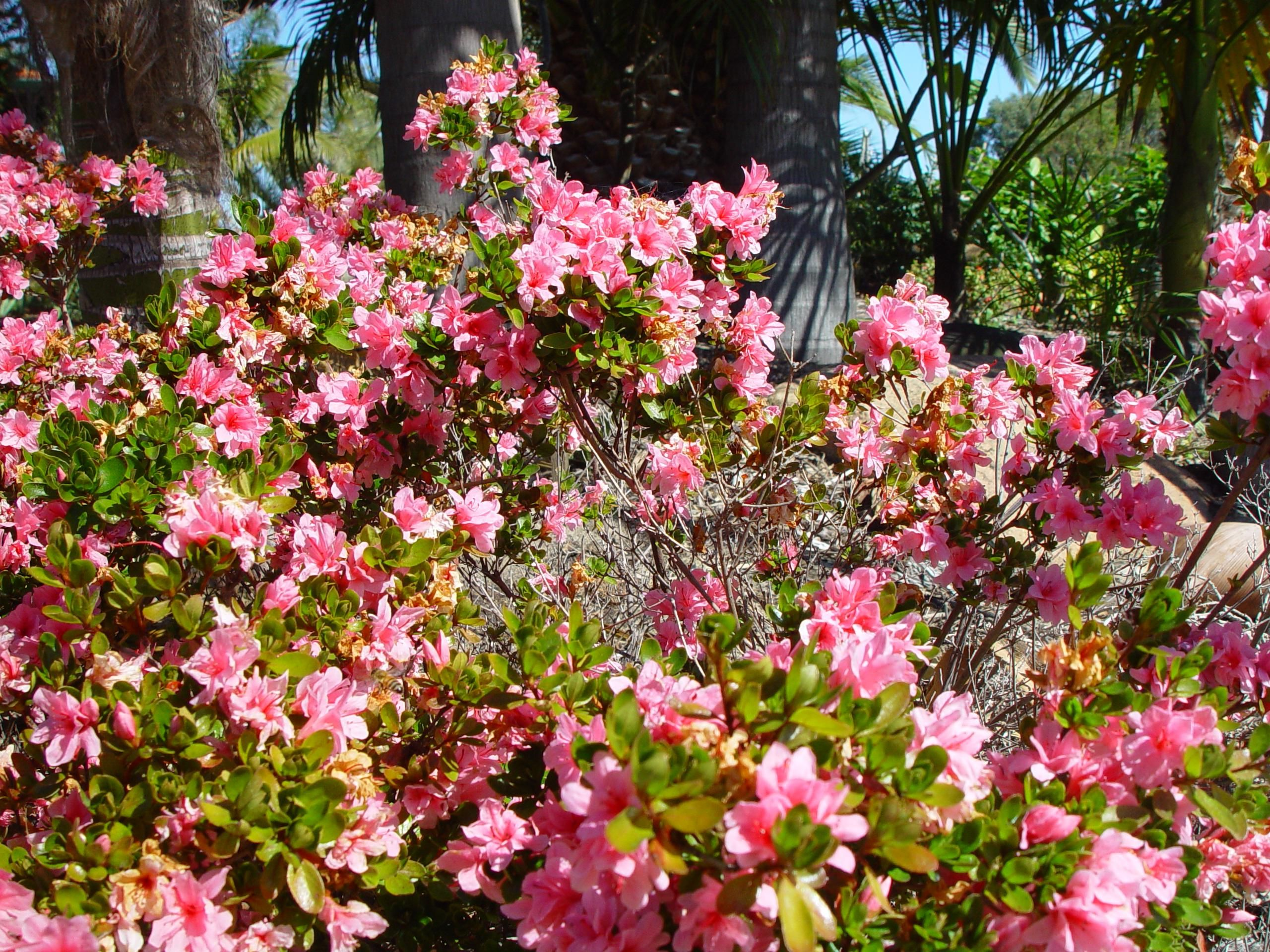 File:Bush with pink flowers.jpg