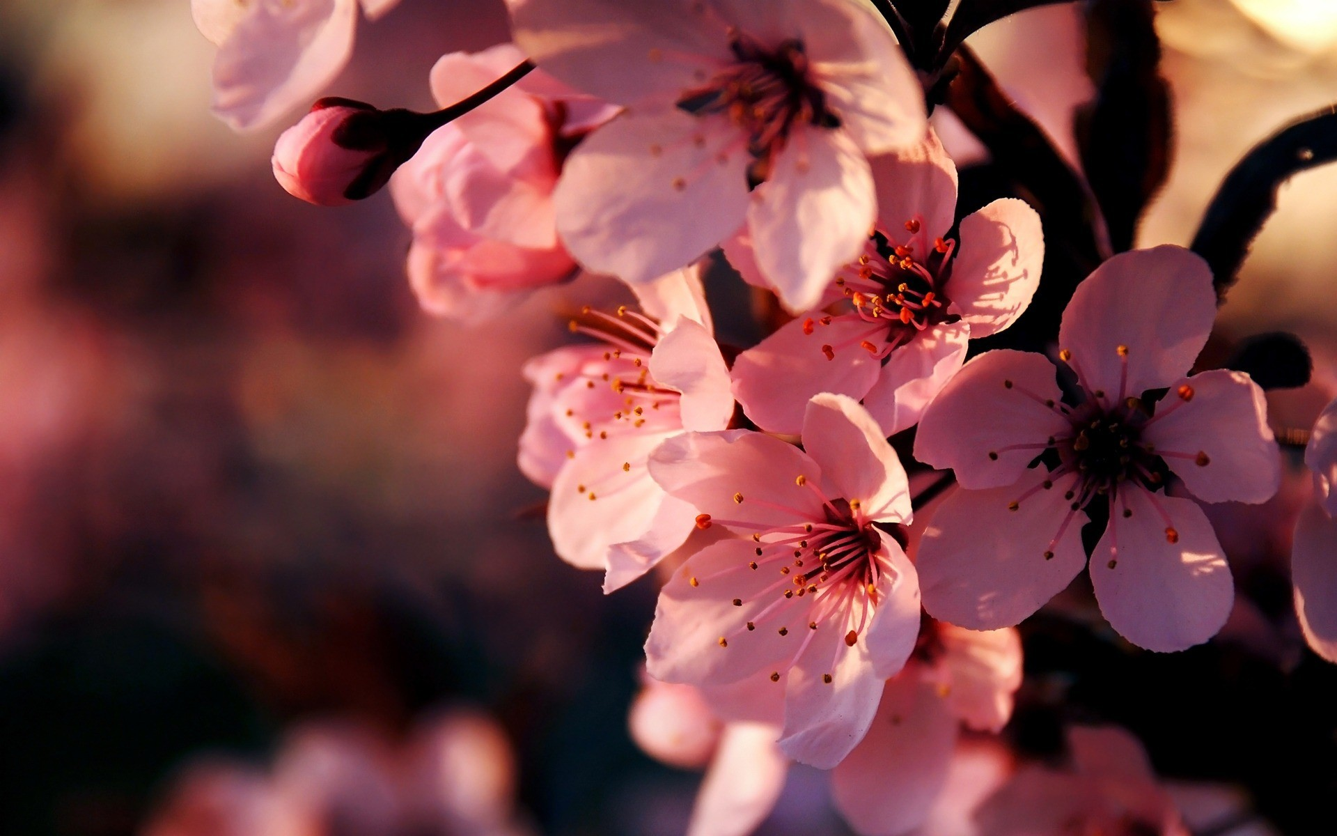 pink flowers hd wallpapers