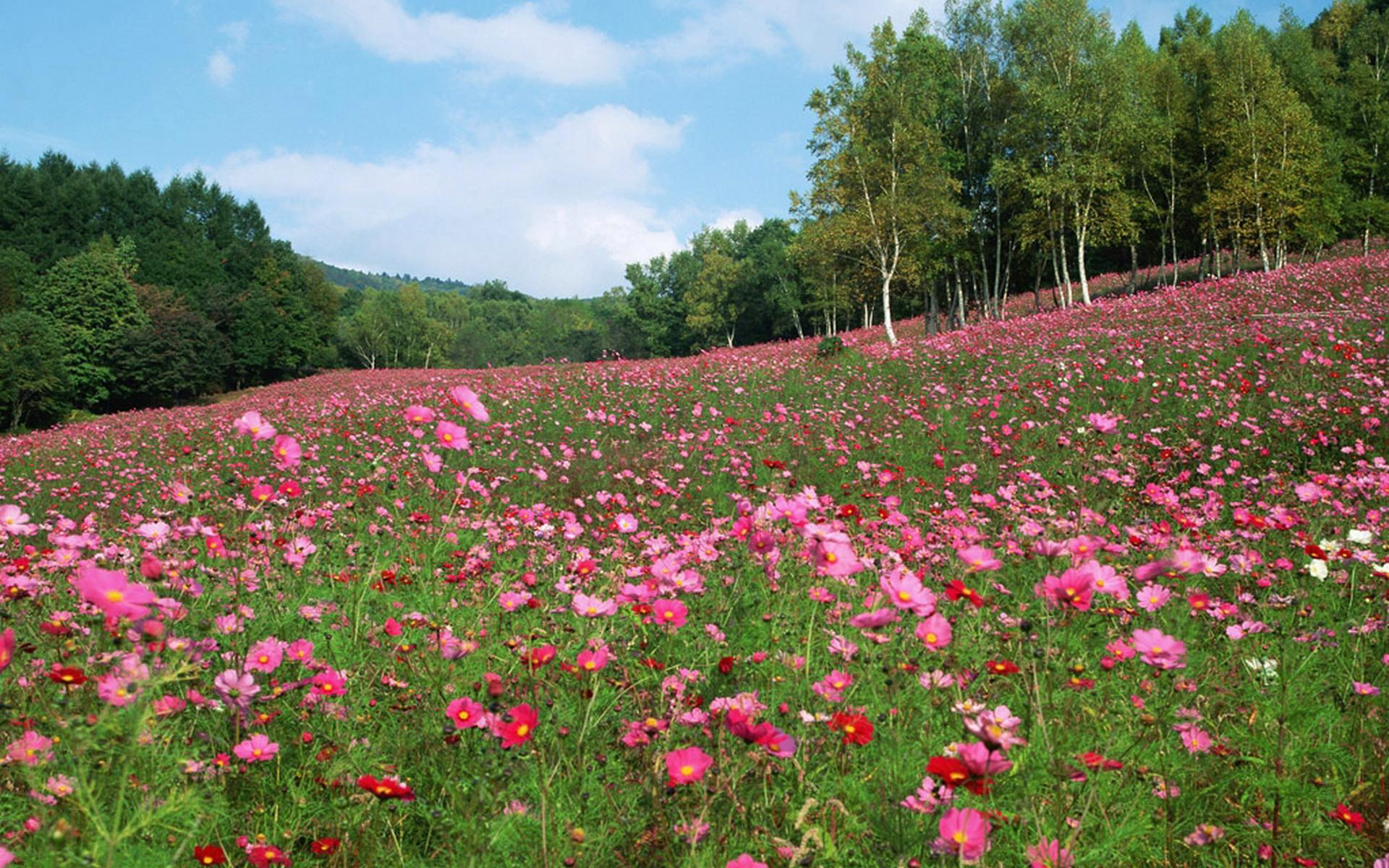 Pink Flowers Meadow