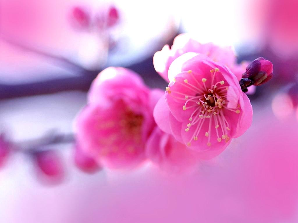 Pink Flowers HD Wallpaper