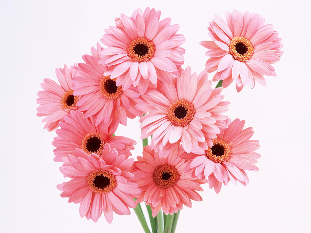 HD Wallpapers Pink Gerbera Daisies