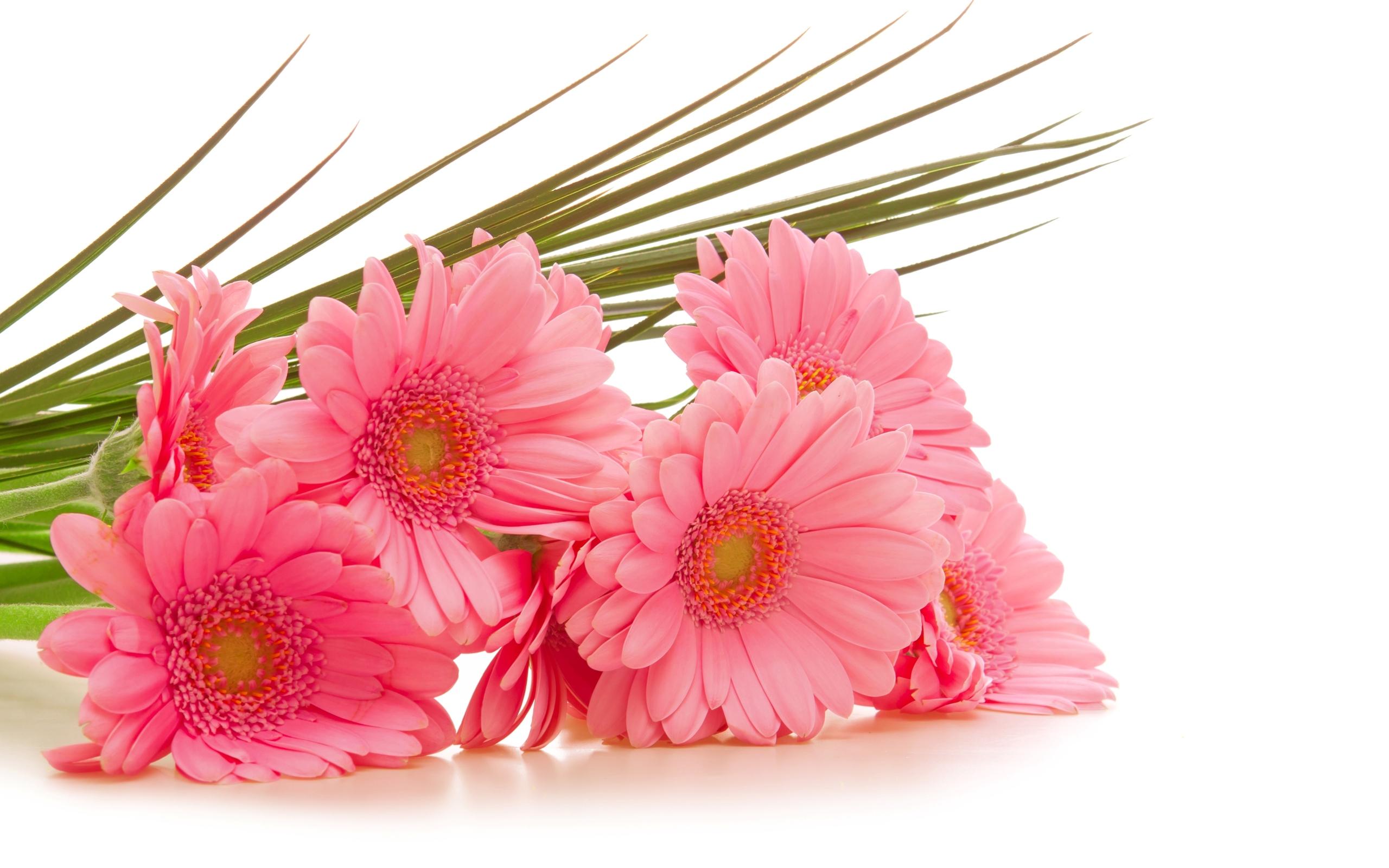 Pink gerbera flower hd