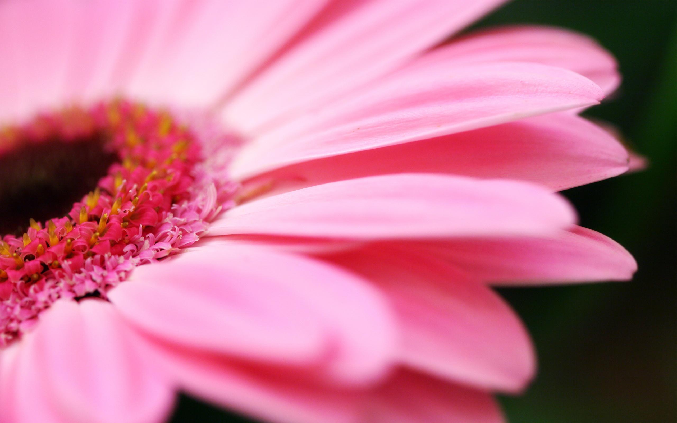 Pink gerbera macro