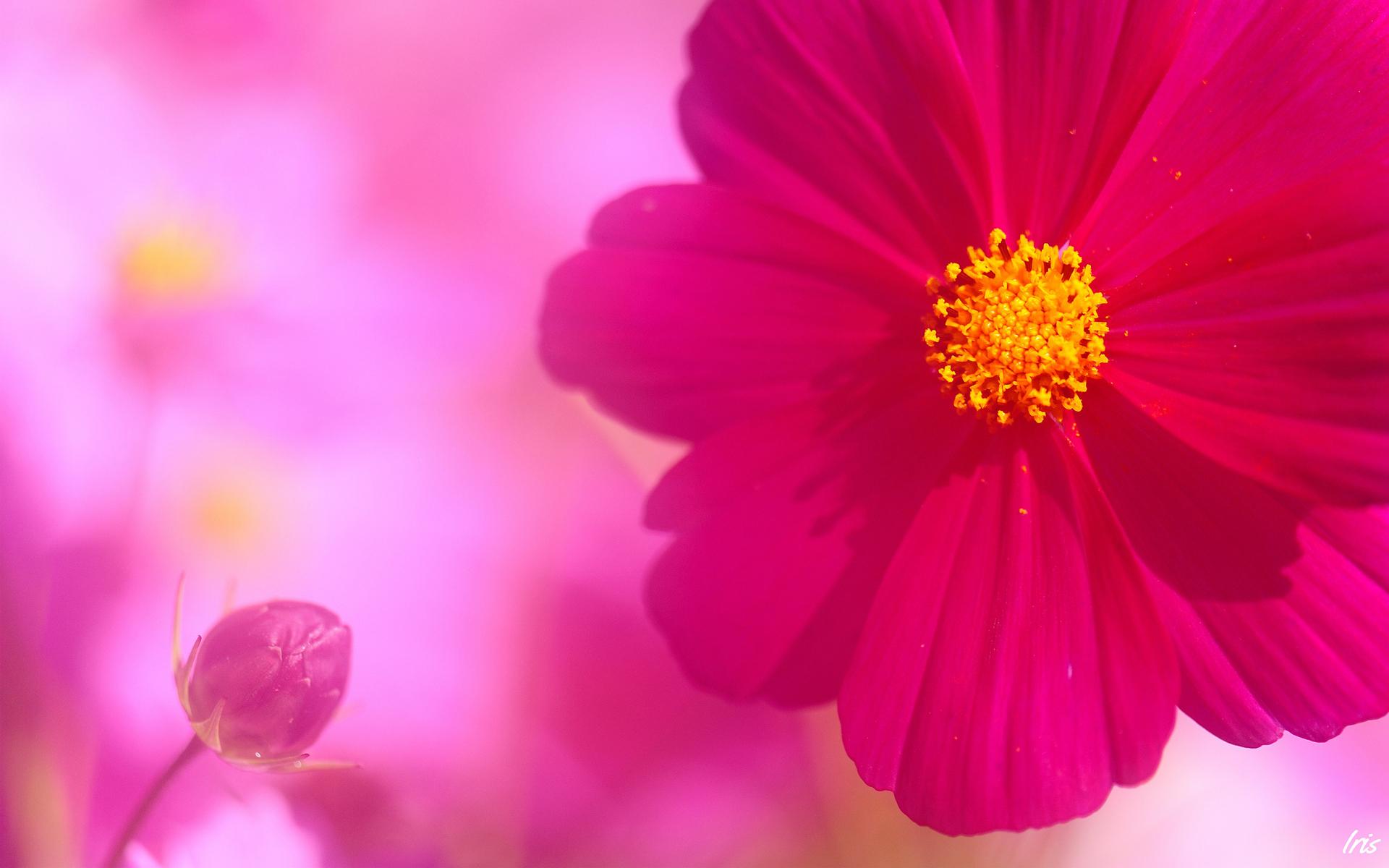 Pink kosmeya hd