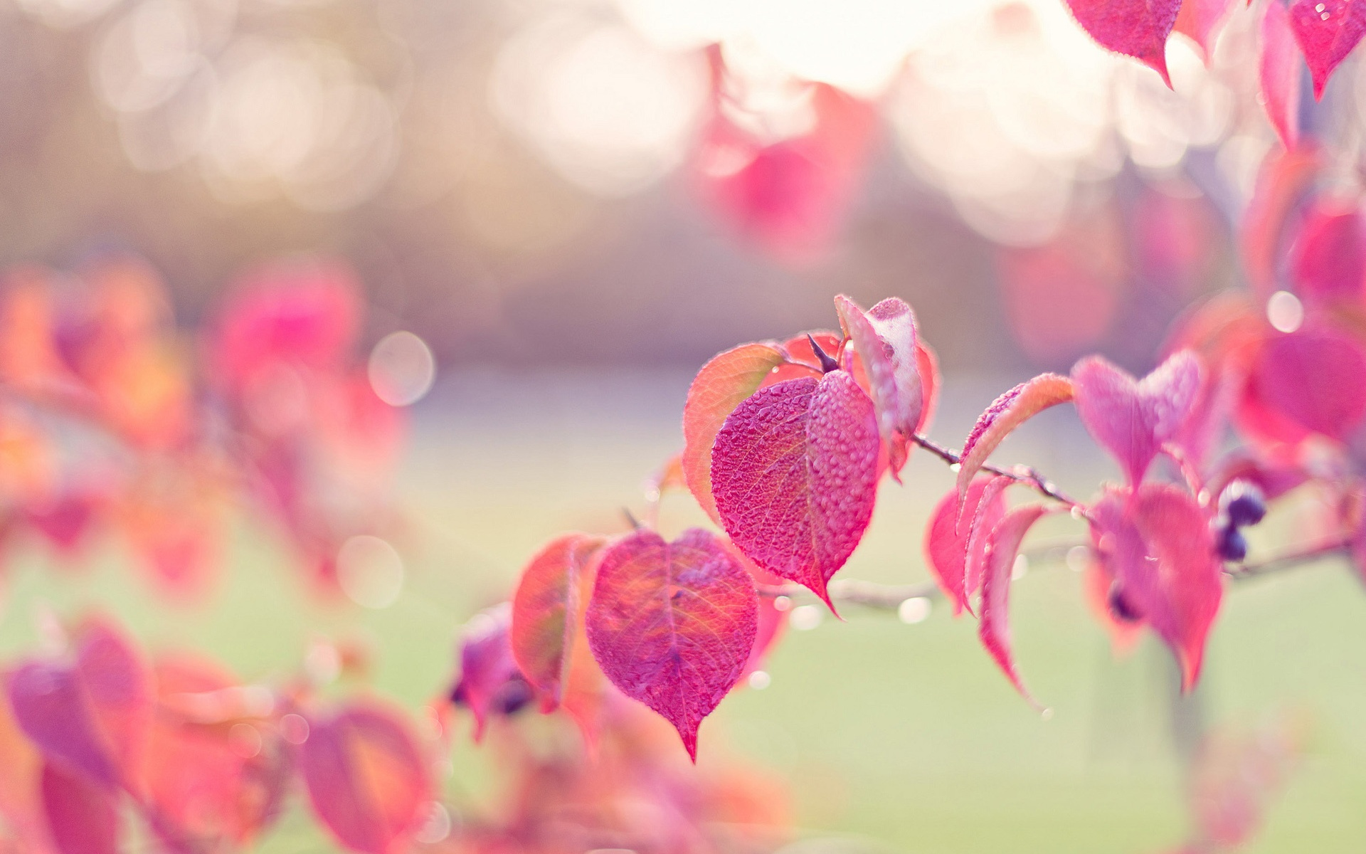 Pink leaves, autumn, dew wallpaper 1920x1200.
