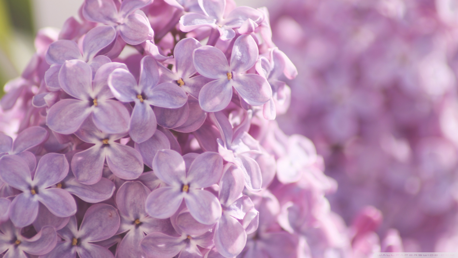 Pink Lilac Flowers wallpaper