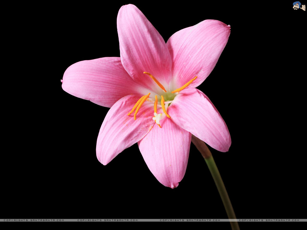 Pink lilies hd