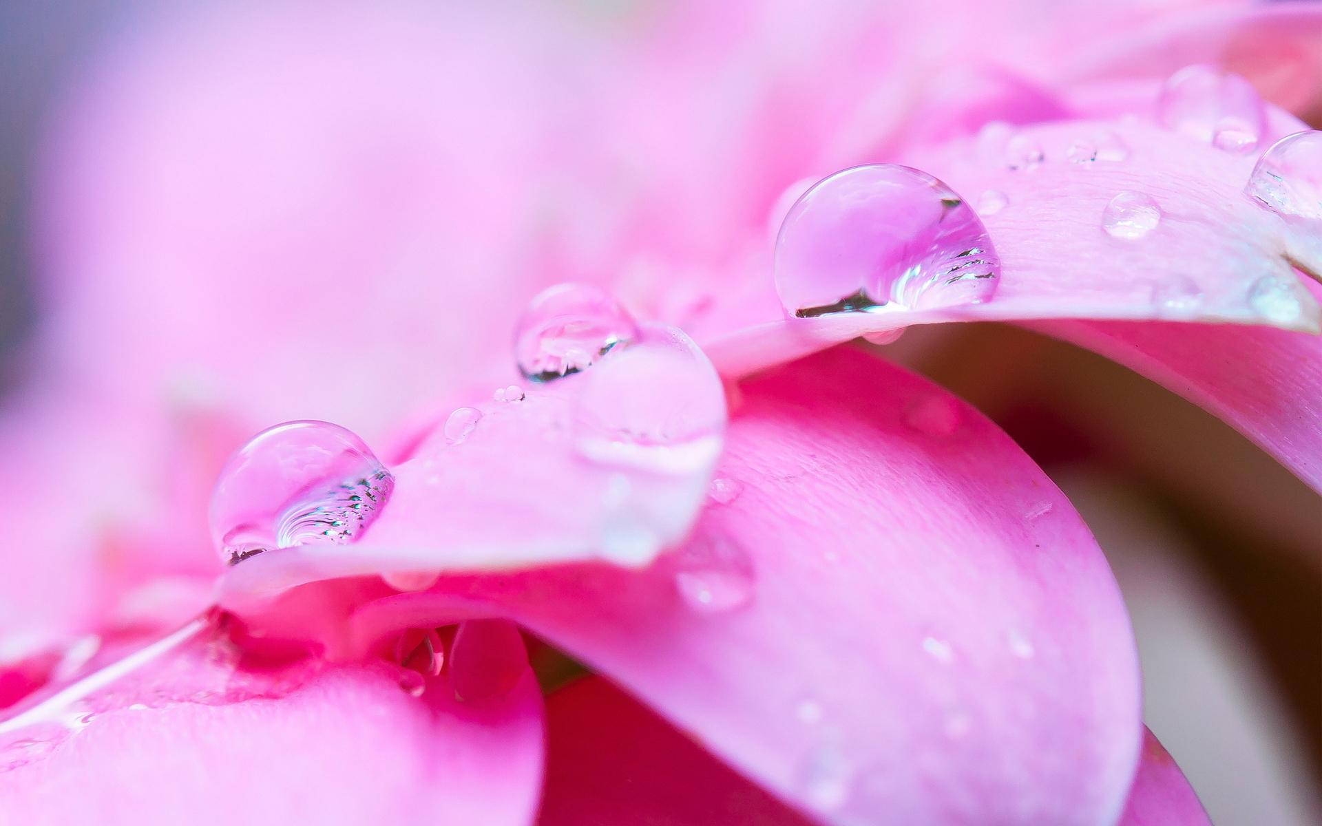 Pink petals drops