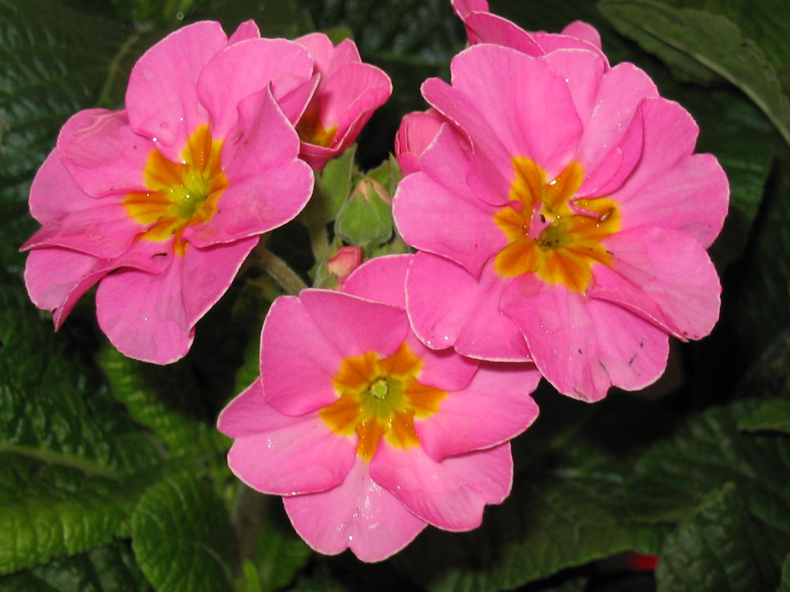 Primula Pink