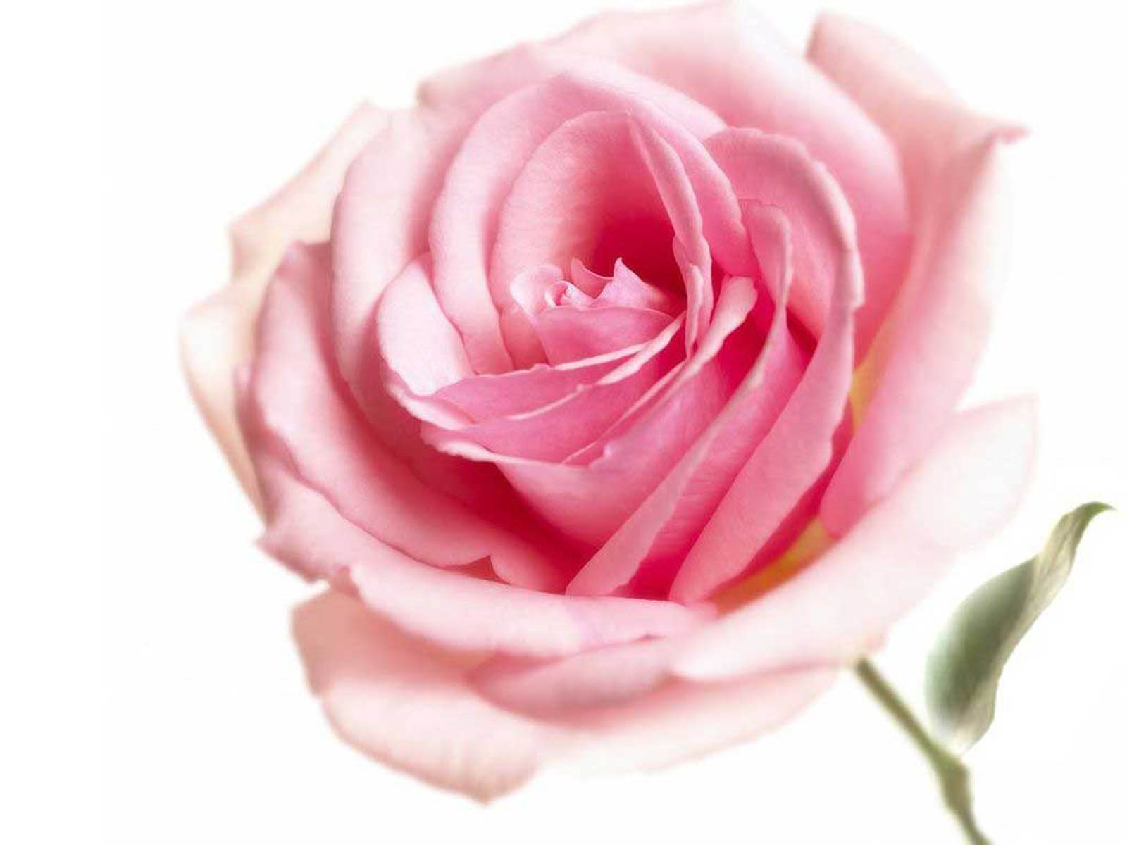 Pink Rose Wallpapers 7