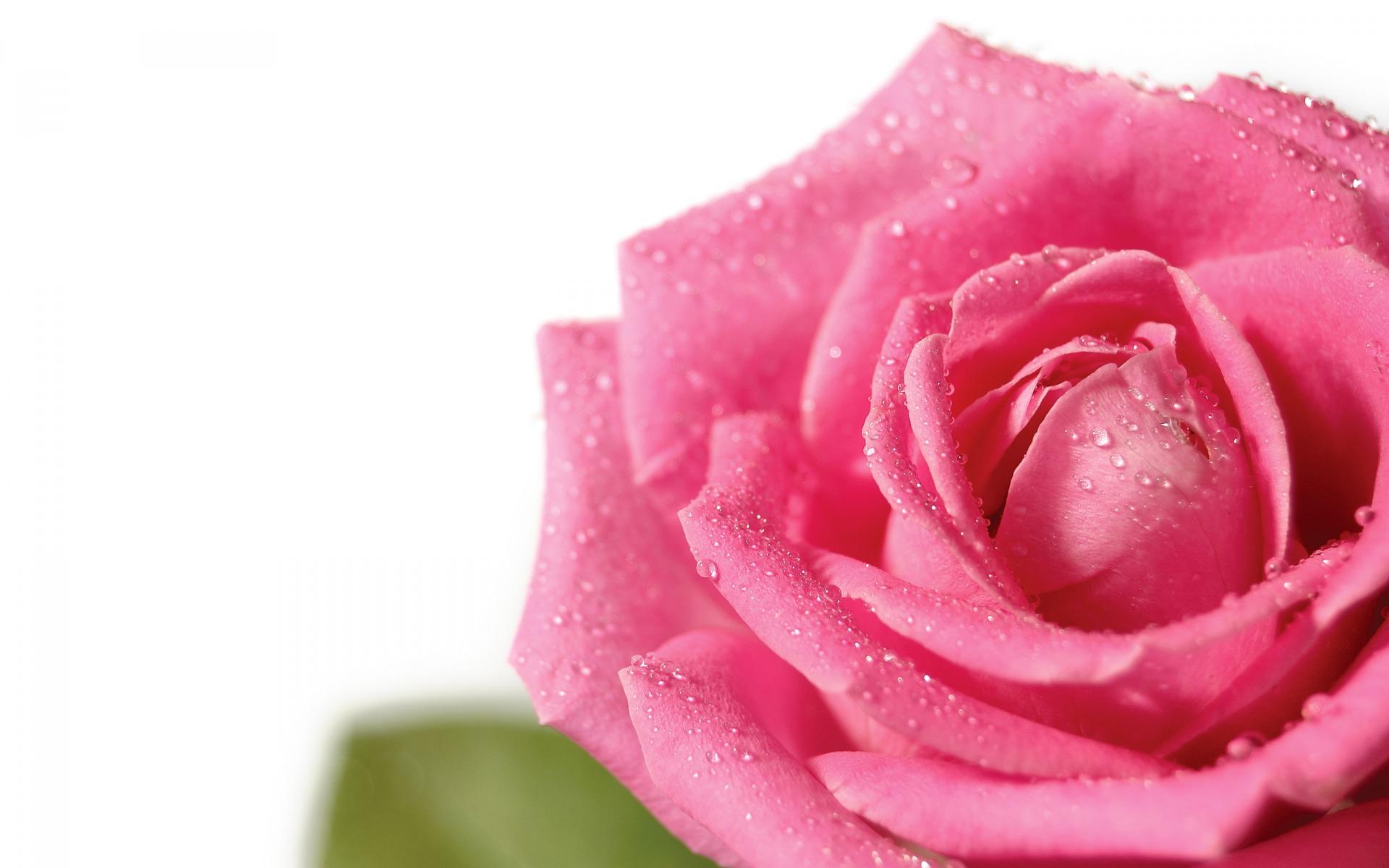 Drop Water On Pink Rose Macro Wallpaper Wide Wallpaper