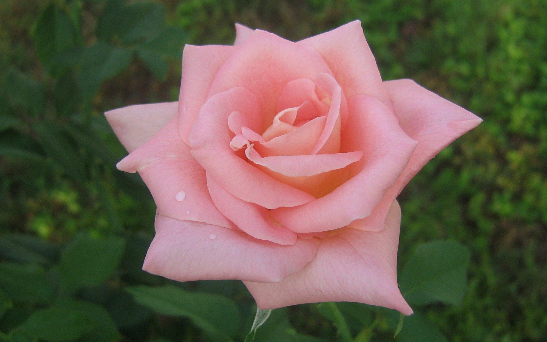Cute Pink Rose Wallpaper
