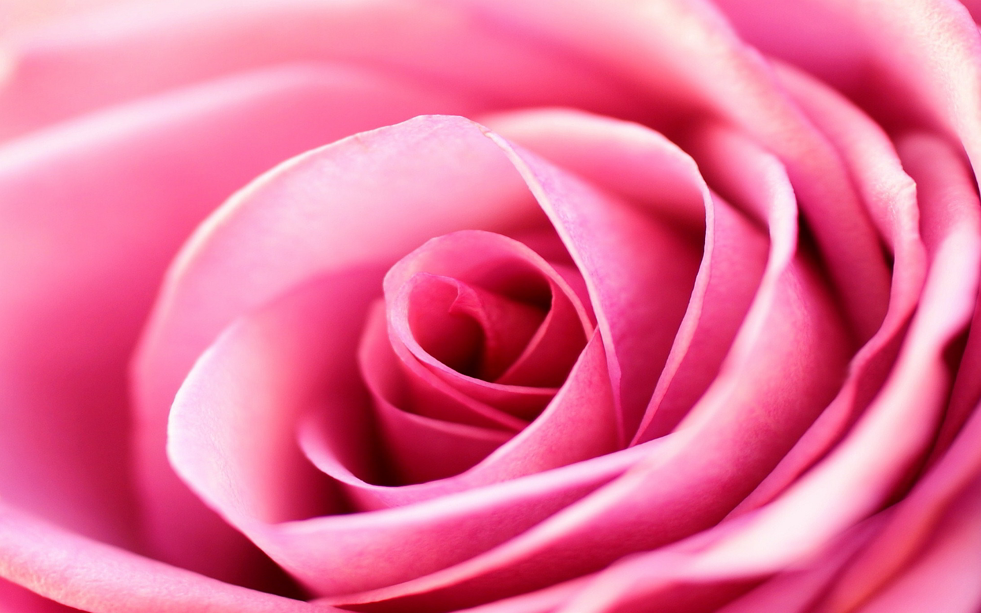 Pink Rose Background