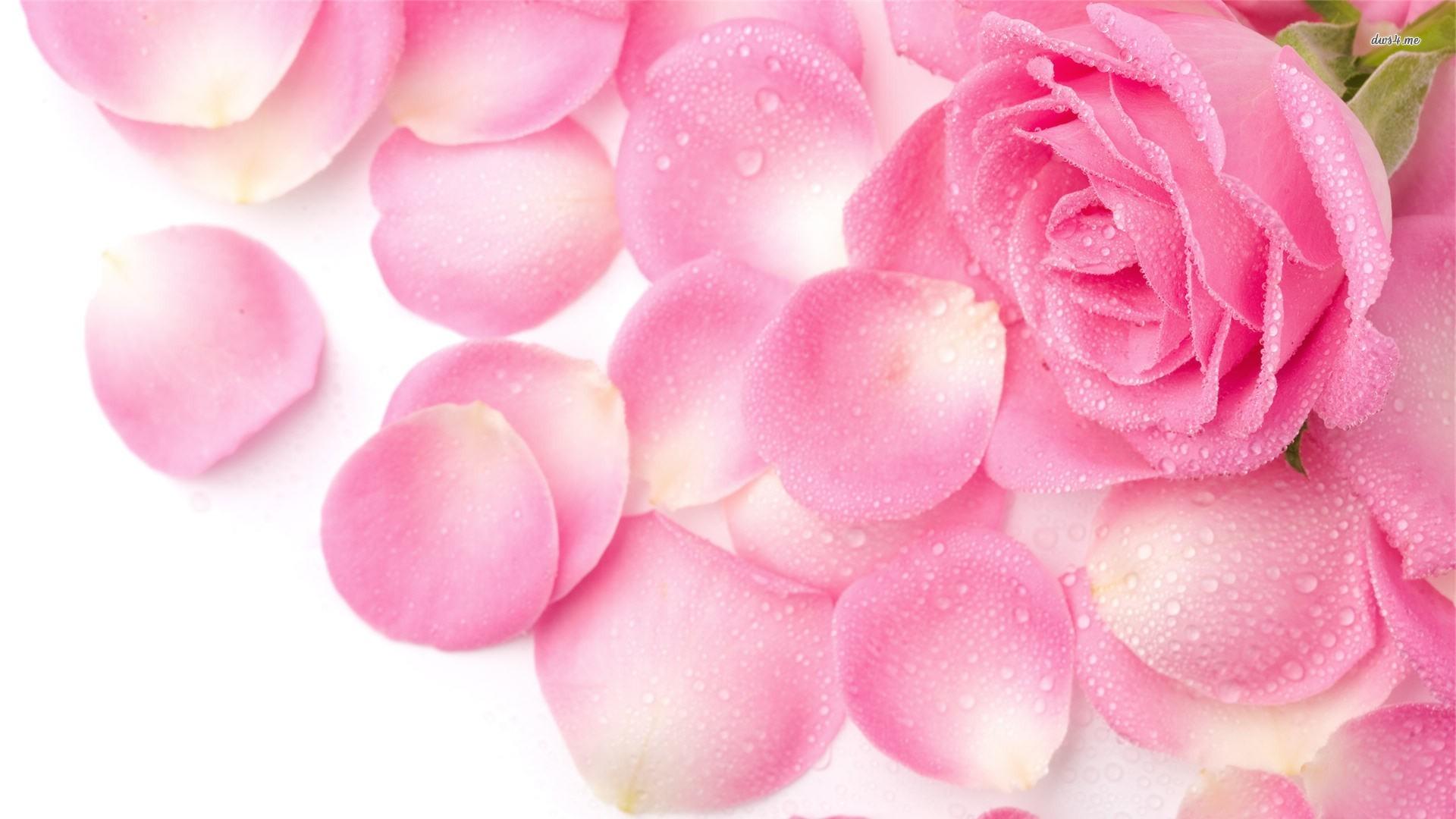 HD Wallpapers 1080p Pink Rose Petals