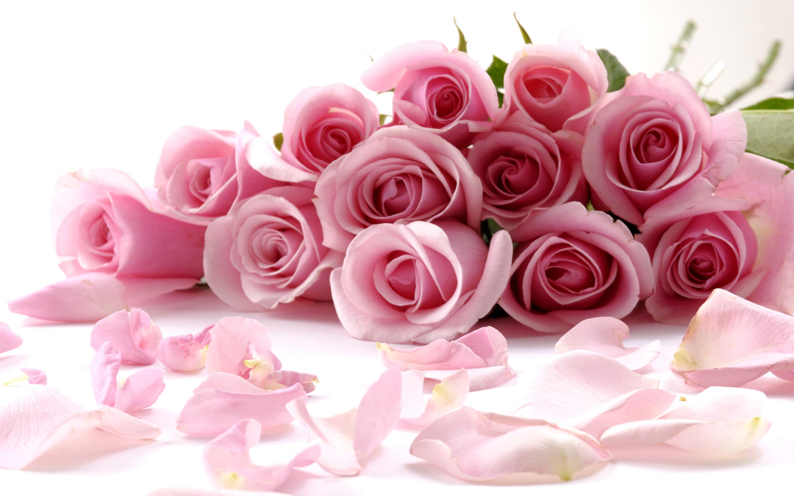 pink roses wallpapers – 2560 x 1600 pixels – 431 kB