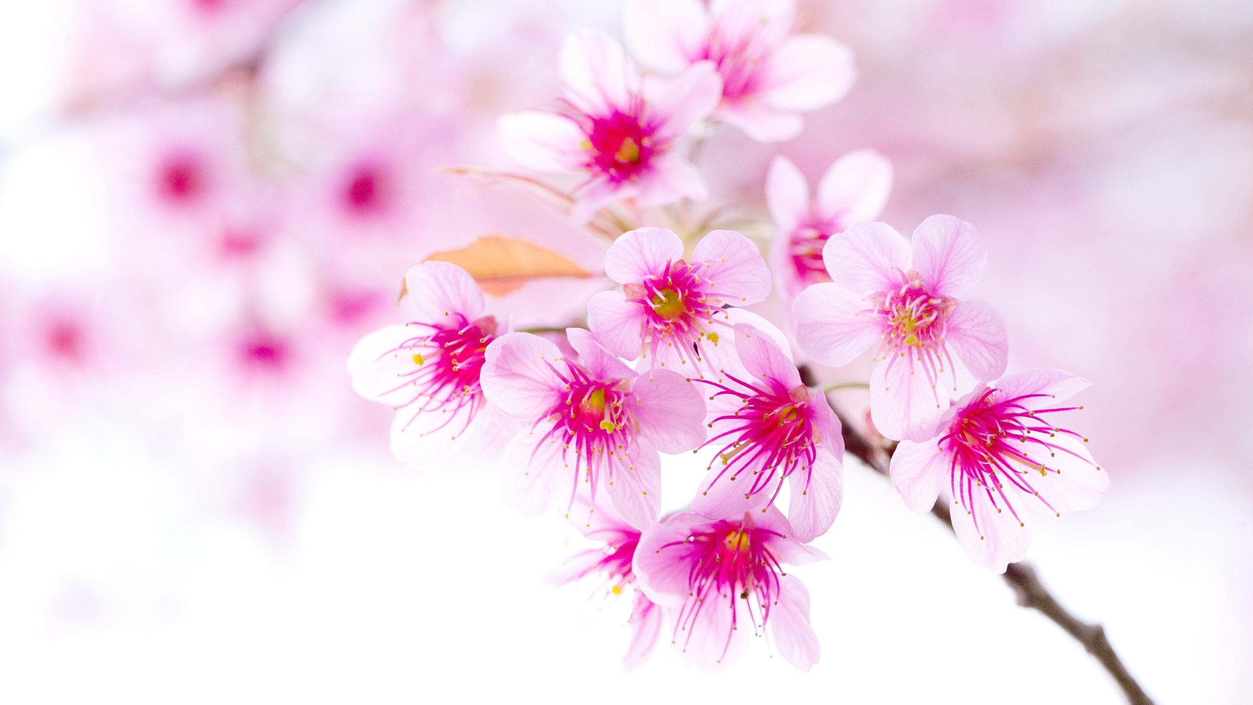 Spring Cherry Blossoms Pink Flowers